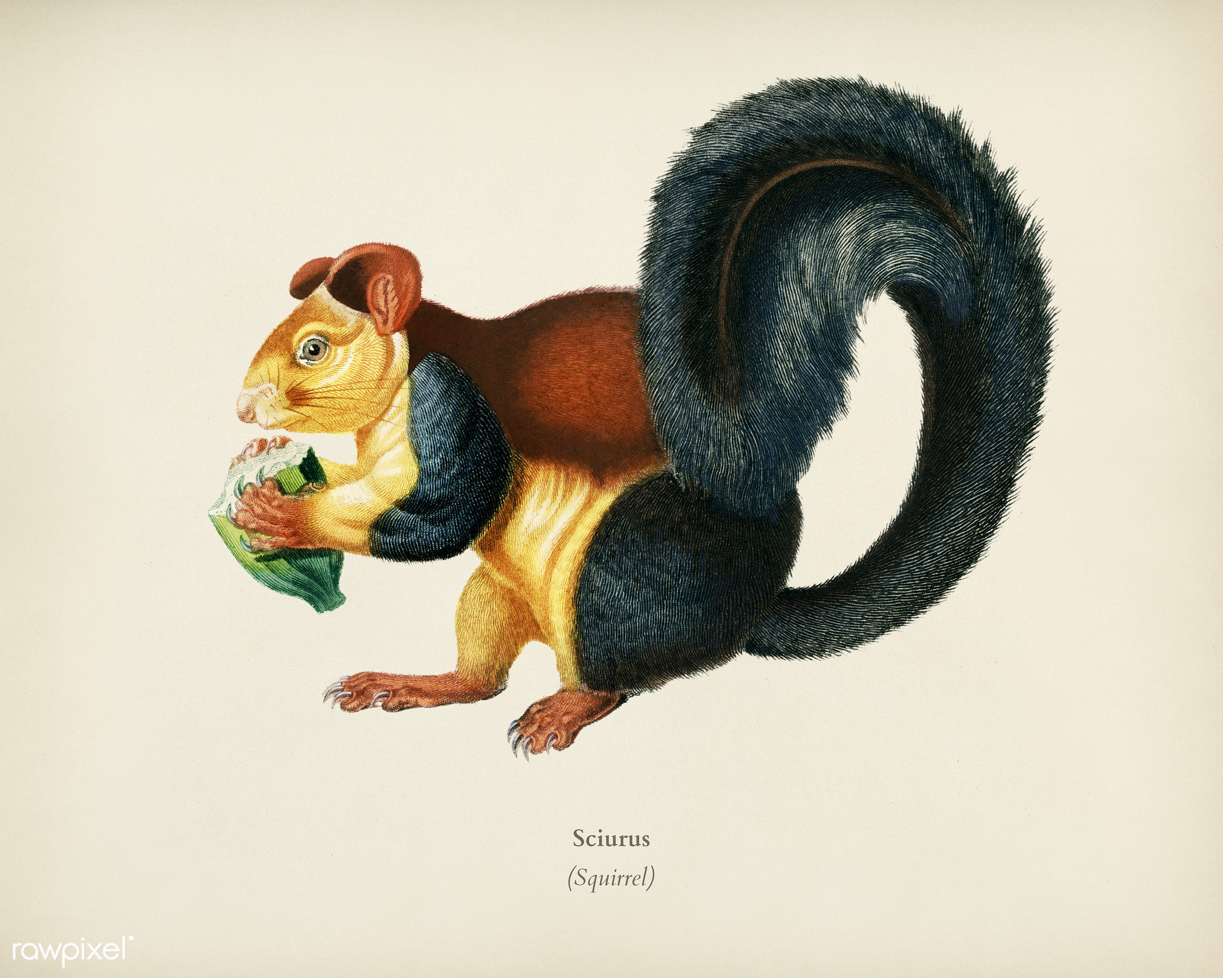 Squirrel (Sciurus) illustrated by Charles Dessalines D' Orbigny (1806-1876). Digitally enhanced from our own 1892...