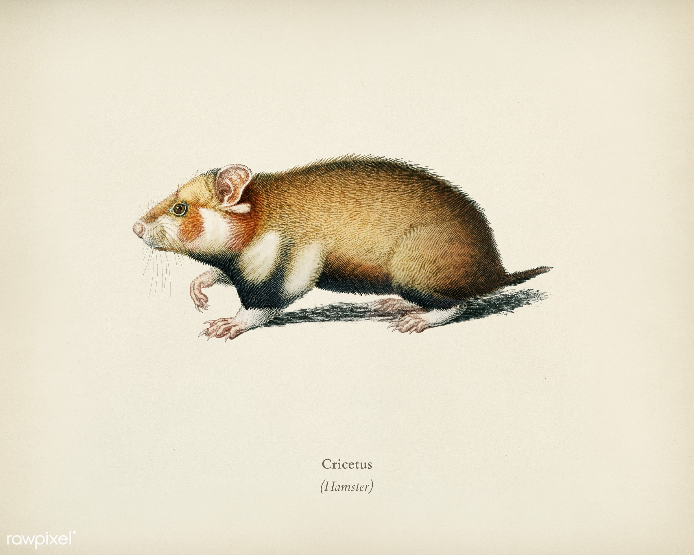 Hamster (Cricetus) illustrated by Charles Dessalines D' Orbigny (1806-1876). Digitally enhanced from our own 1892...