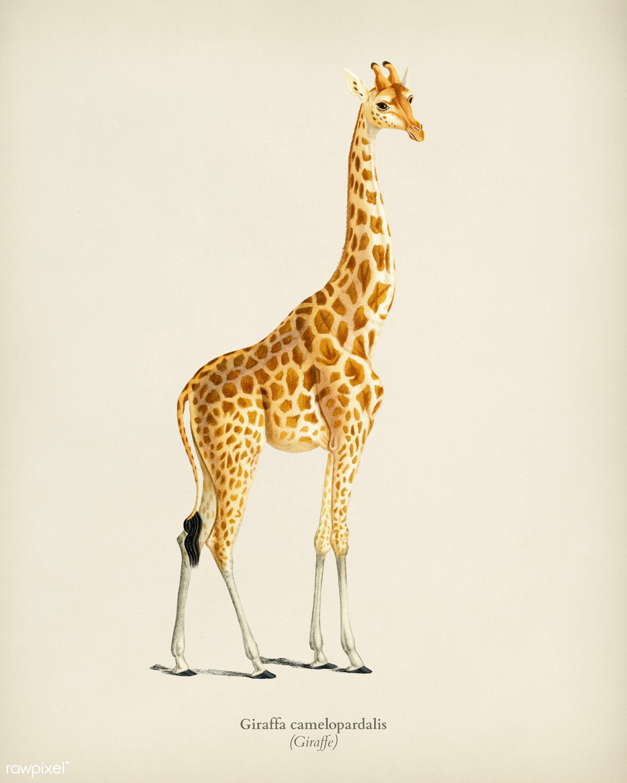 Giraffe (Giraffa camelopardalis) illustrated by Charles Dessalines D' Orbigny (1806-1876). Digitally enhanced from our...