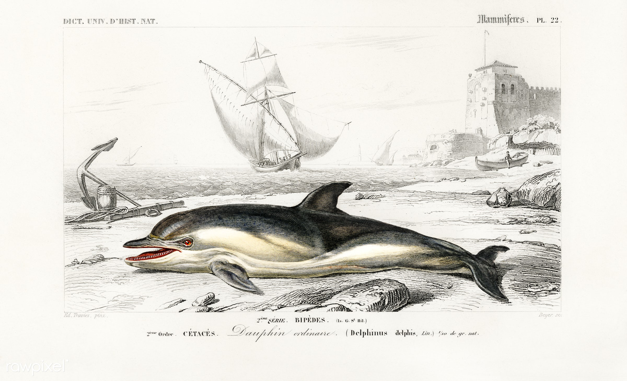Delphinus delphis illustrated by Charles Dessalines D' Orbigny (1806-1876). Digitally enhanced from our own 1892 edition...