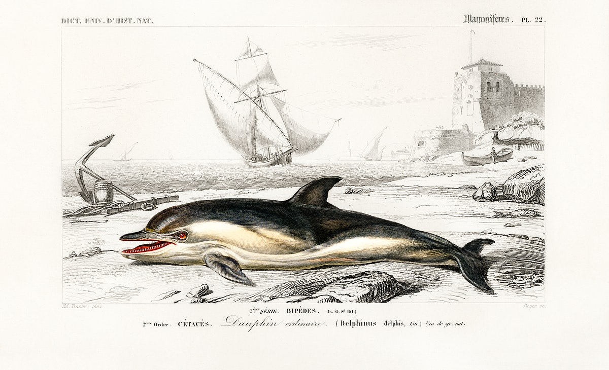 Delphinus delphis illustrated by Charles Dessalines D' Orbigny (1806-1876). Digitally enhanced from our own 1892 edition of…
