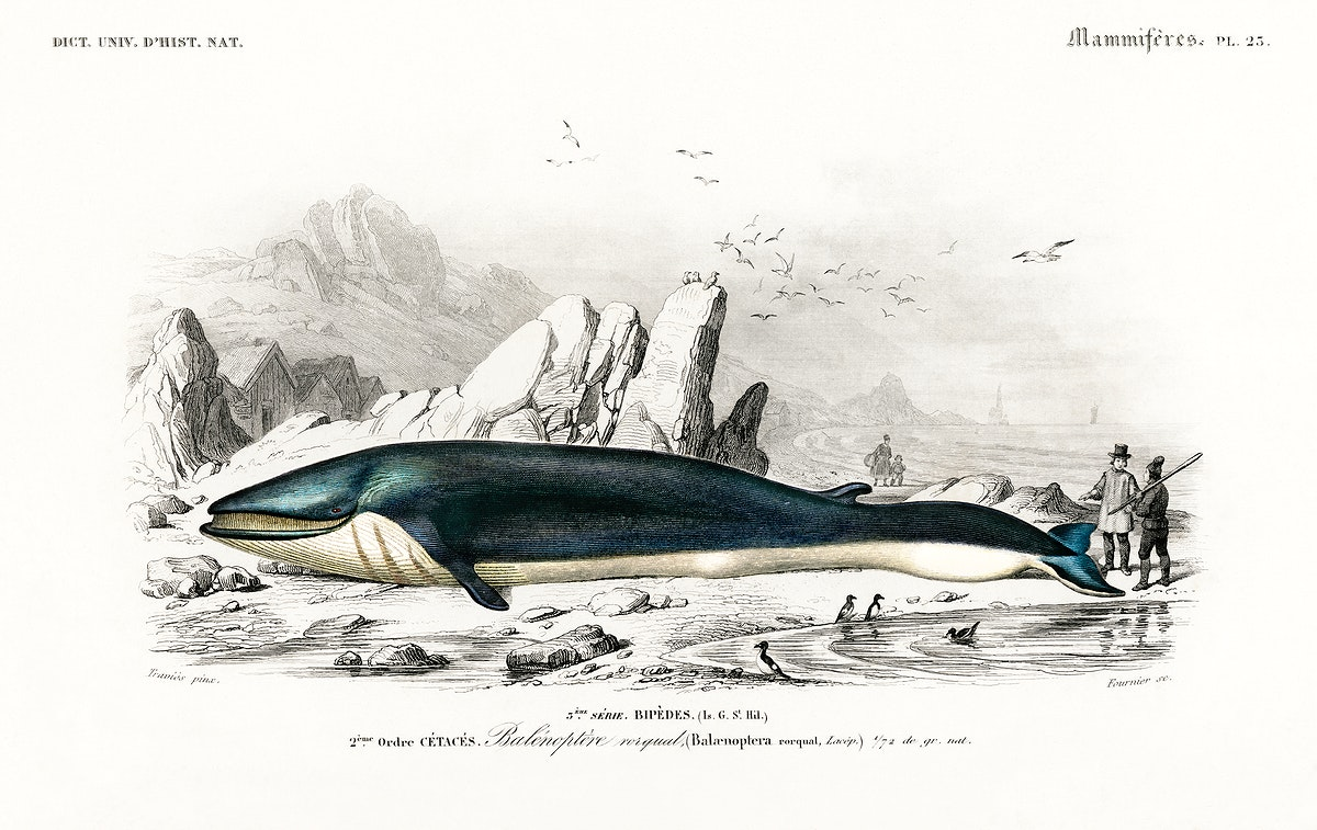 Balaenoptera rorqual illustrated by Charles Dessalines D' Orbigny (1806-1876). Digitally enhanced from our own 1892 edition…
