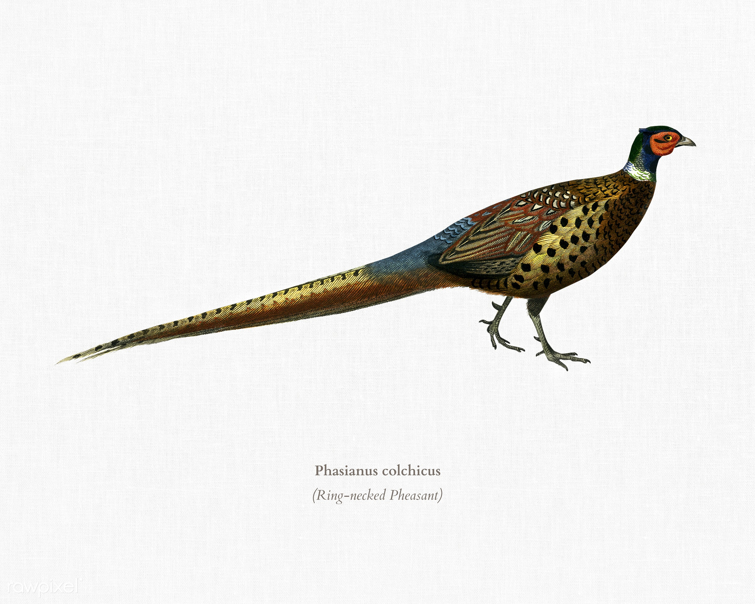 Ring-neckrd pheasant (Phasianus colchicus) illustrated by Charles Dessalines D' Orbigny (1806-1876). Digitally enhanced...