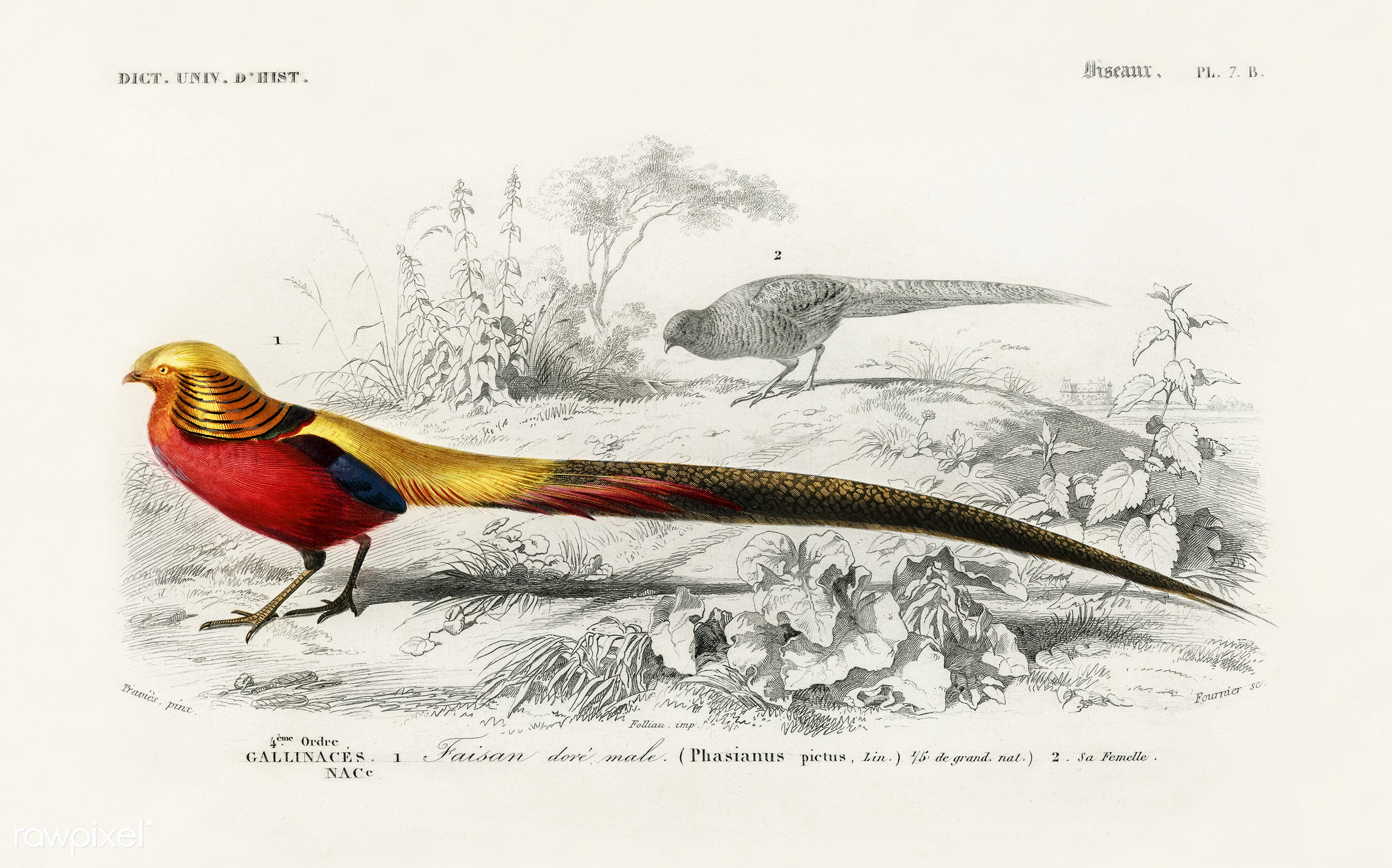 Male golden pheasant illustrated by Charles Dessalines D' Orbigny (1806-1876). Digitally enhanced from our own 1892...