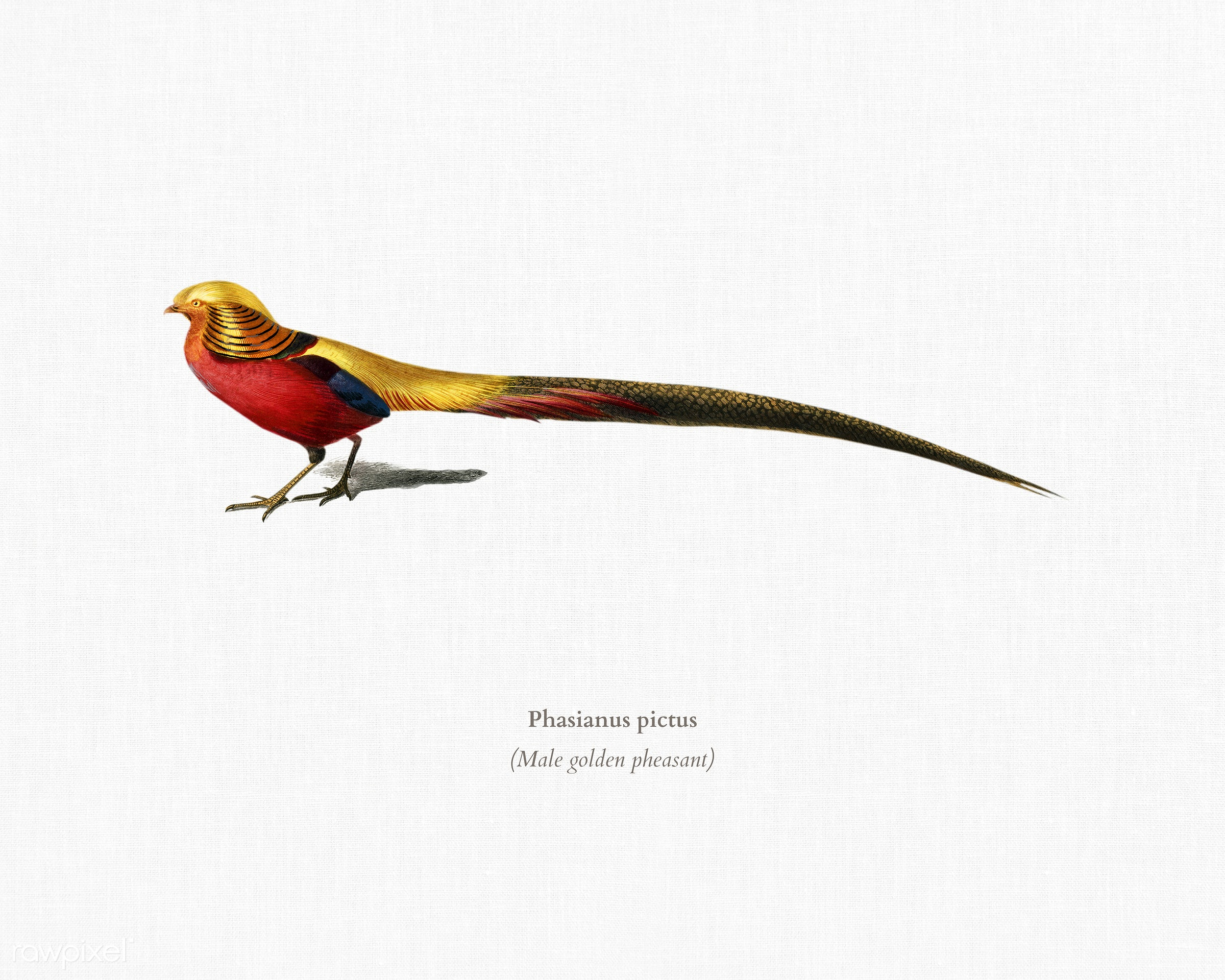 Male golden pheasant (Phasianus pictus) illustrated by Charles Dessalines D' Orbigny (1806-1876). Digitally enhanced...