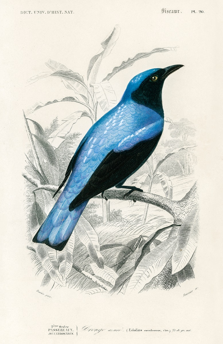 Square-tailed drongo (Edoius caerulescens) illustrated by Charles Dessalines D' Orbigny (1806-1876). Digitally enhanced from…