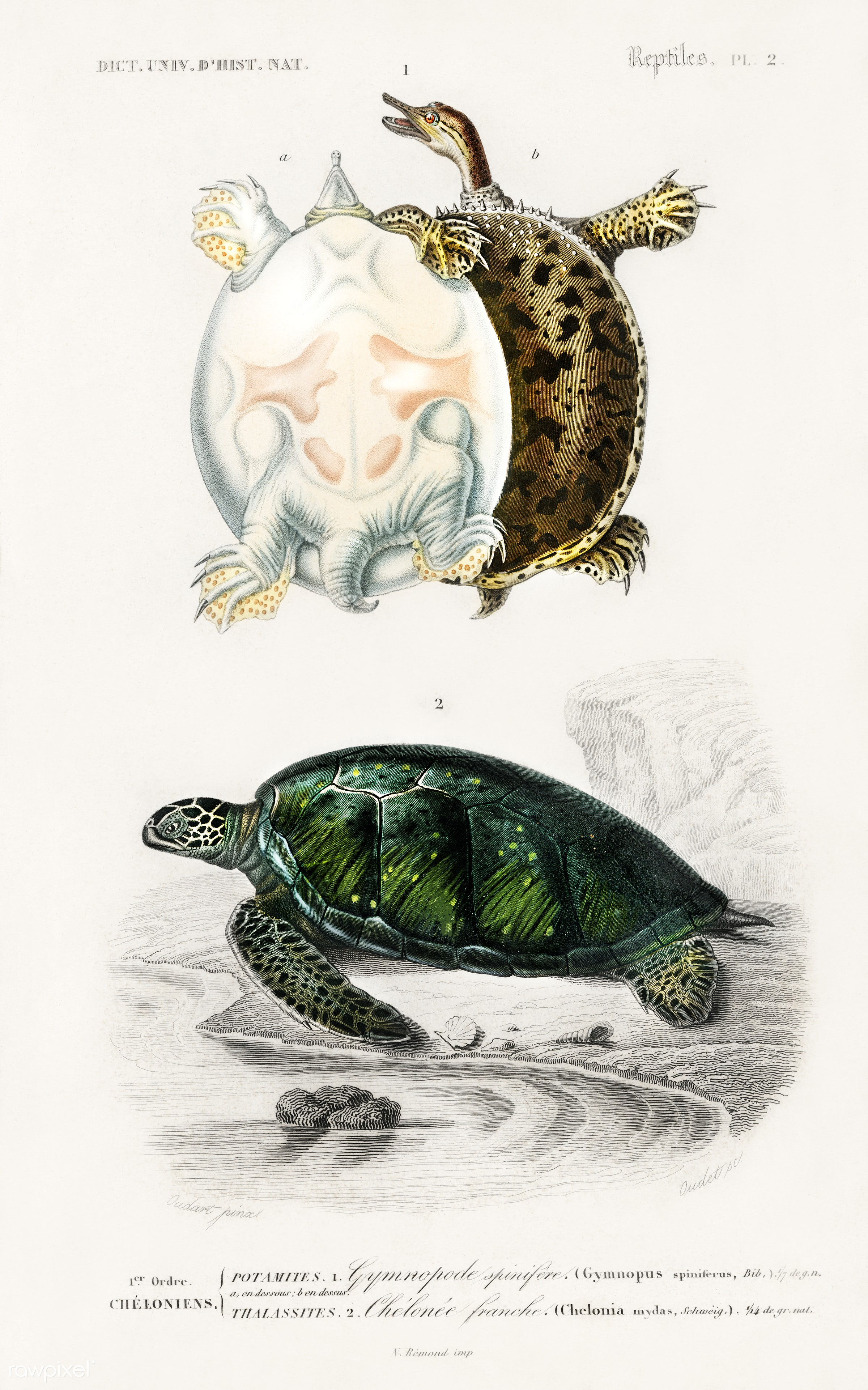 Green Sea Turtle (Chelonia mydus) and Spiny softshell turtle (Gymnopus spiniferus) illustrated by Charles Dessalines D'...