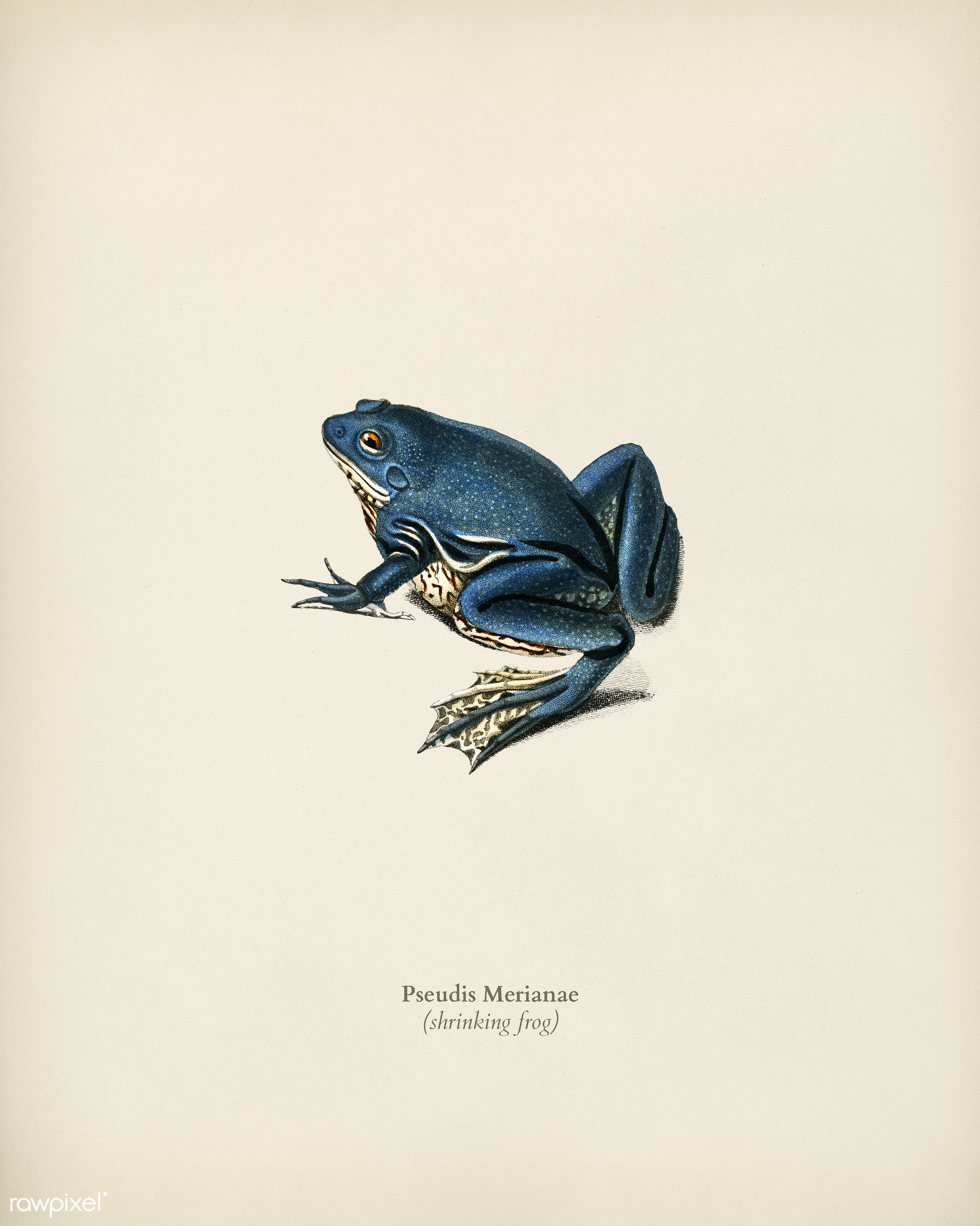 Shrinking frog (Pseudis Merianae) illustrated by Charles Dessalines D' Orbigny (1806-1876). Digitally enhanced from our...