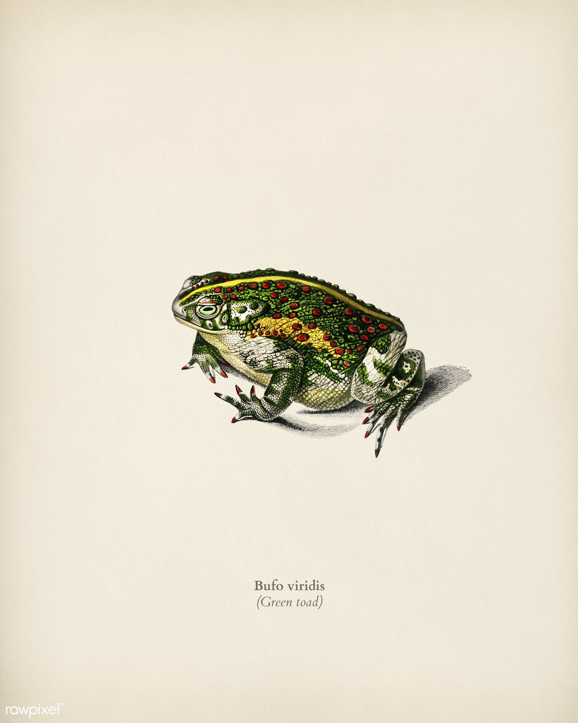Green toad illustrated by Charles Dessalines D' Orbigny (1806-1876) Digitally enhanced from our own 1892 edition of...