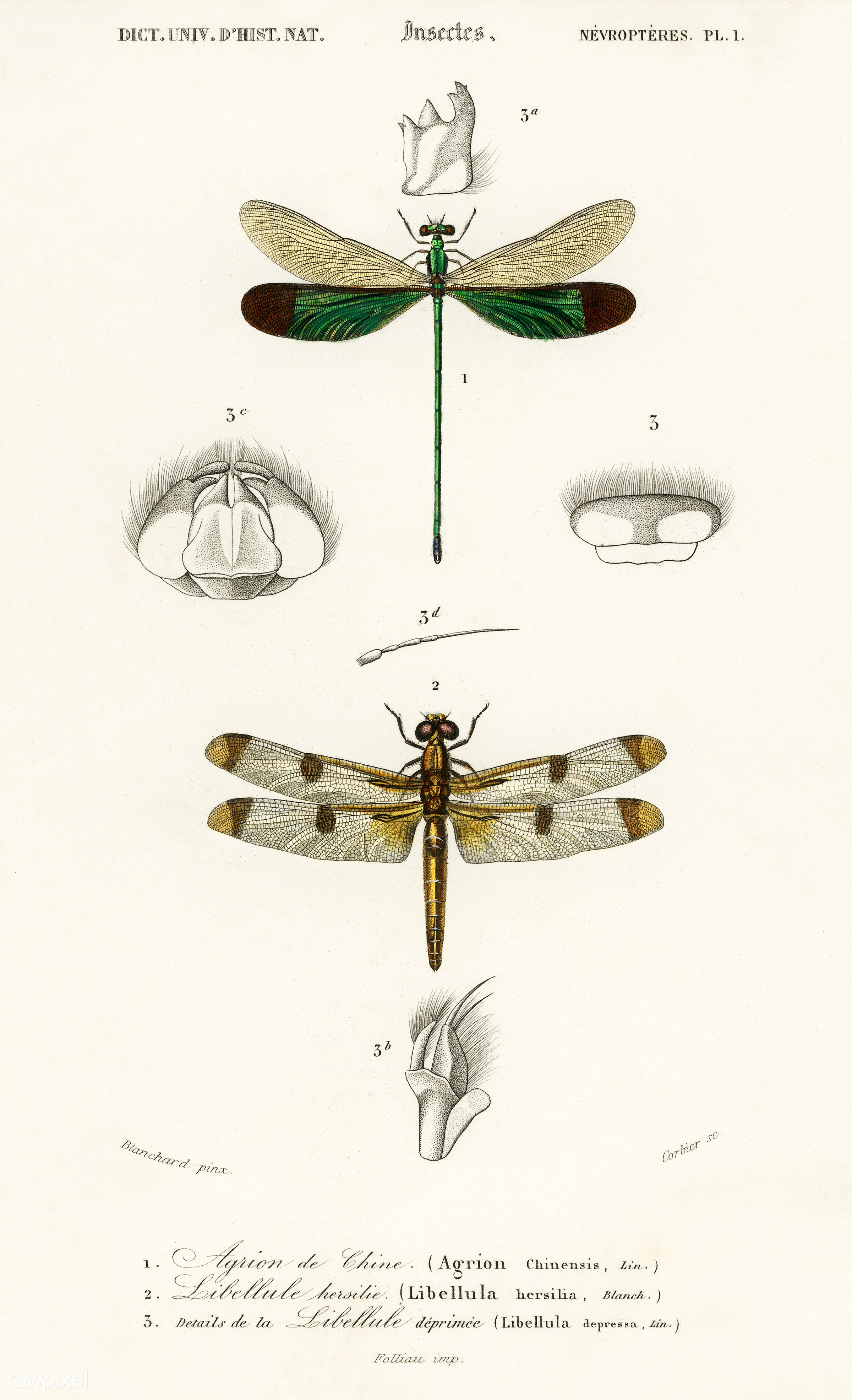 Different types of dragonflies illustrated by Charles Dessalines D' Orbigny (1806-1876). Digitally enhanced from our own...