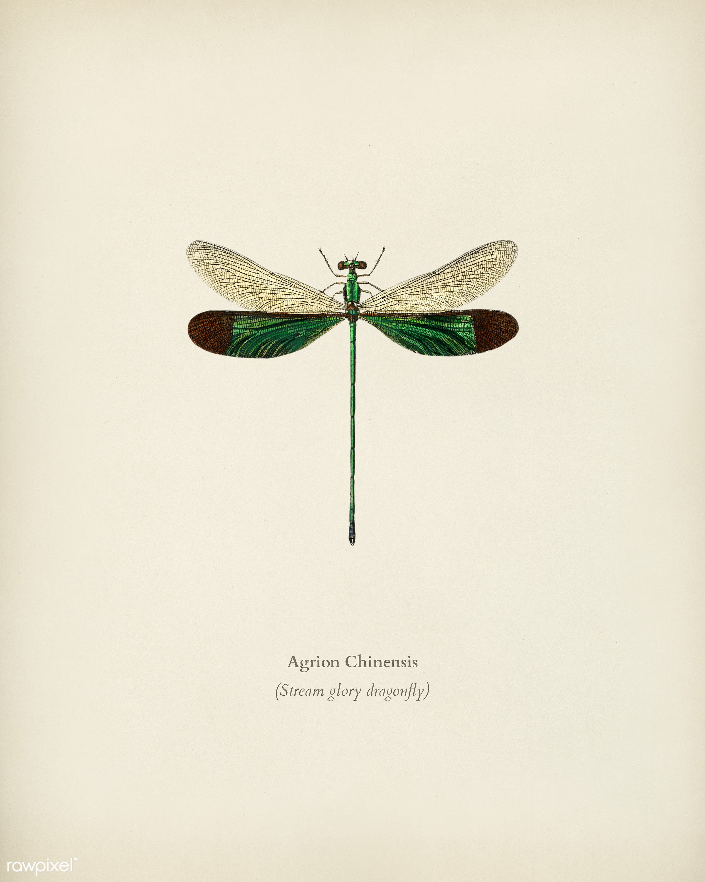 Stream glory (Neurobasis chinensis) illustrated by Charles Dessalines D' Orbigny (1806-1876). Digitally enhanced from...