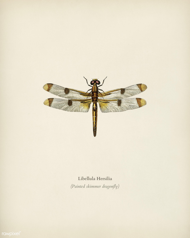 Painted skimmer (Libellula Hersilia) illustrated by Charles Dessalines D' Orbigny (1806-1876). Digitally enhanced from...