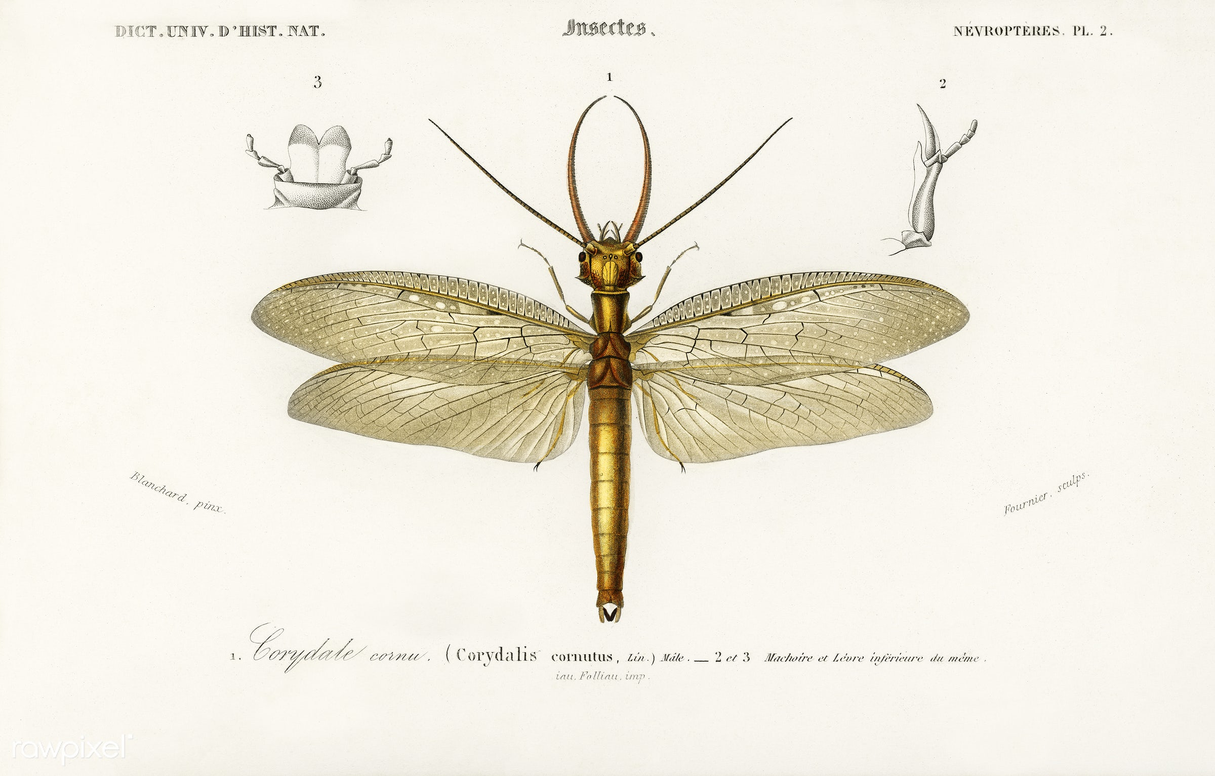 Eastern dobsonfly (Corydalus cornutus) illustrated by Charles Dessalines D' Orbigny (1806-1876). Digitally enhanced from...