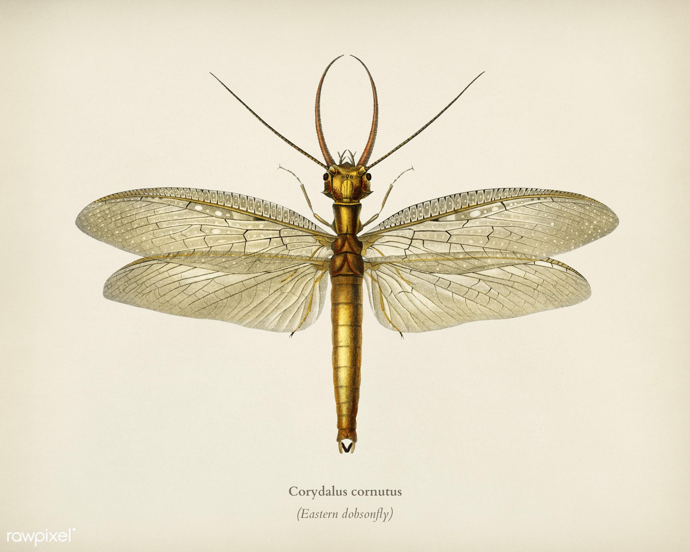 Eastern dobsonfly (Corydalus cornutus) illustrated by Charles Dessalines D' Orbigny (1806-1876). Digitally enhanced from...