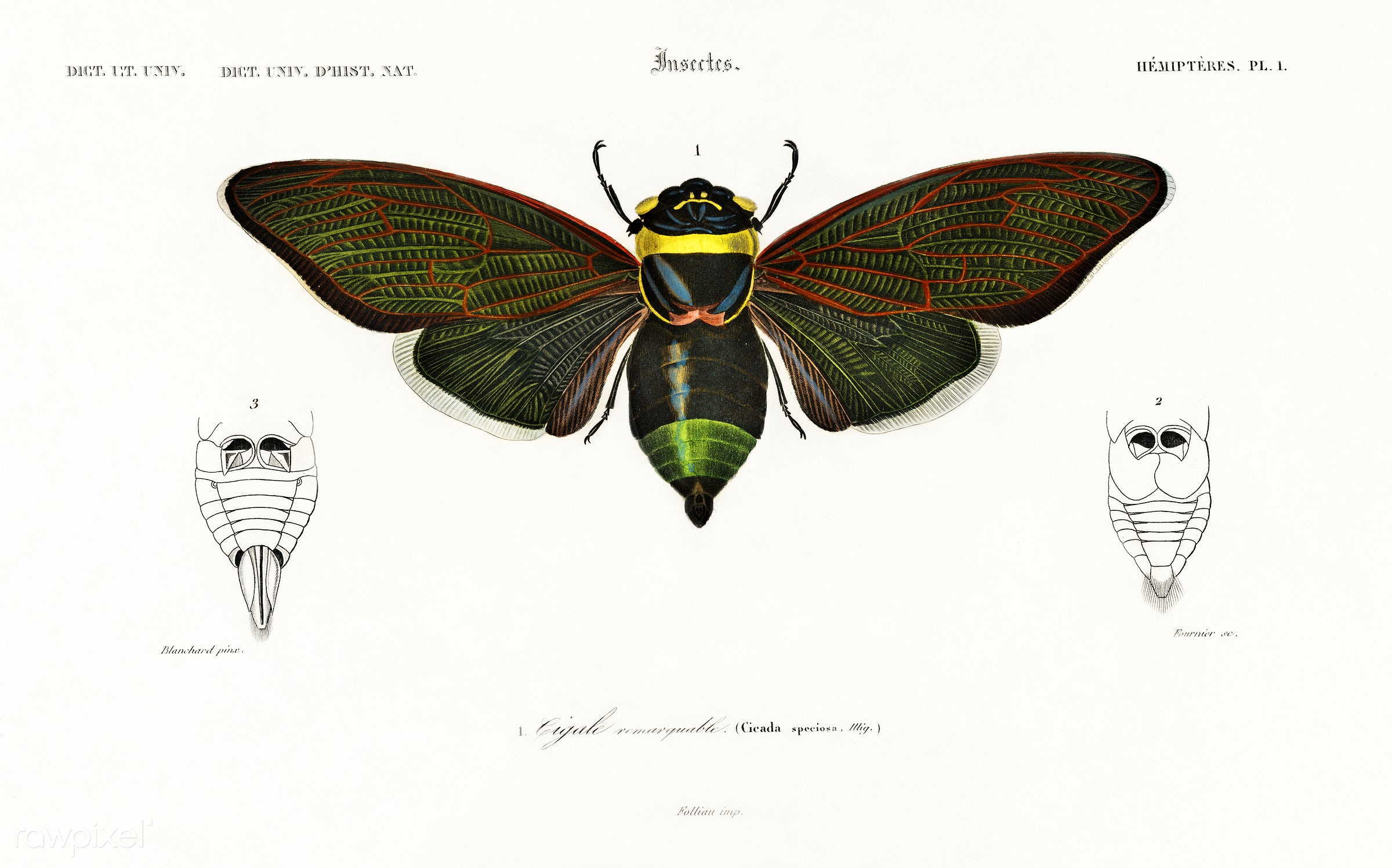 Gian cicuda (Cicada speciosa) illustrated by Charles Dessalines D' Orbigny (1806-1876). Digitally enhanced from our own...
