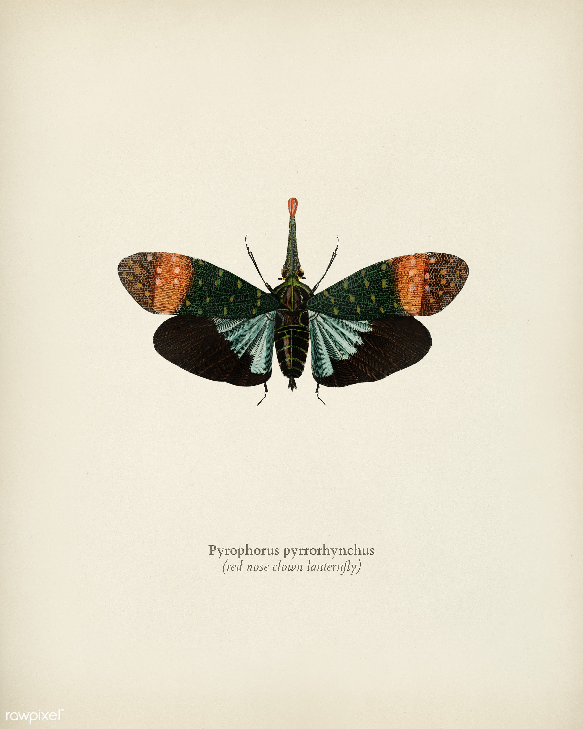 Red nose clown lanternfly (pyrophorus pyrrorhynchus) illustrated by Charles Dessalines D' Orbigny (1806-1876). Digitally...