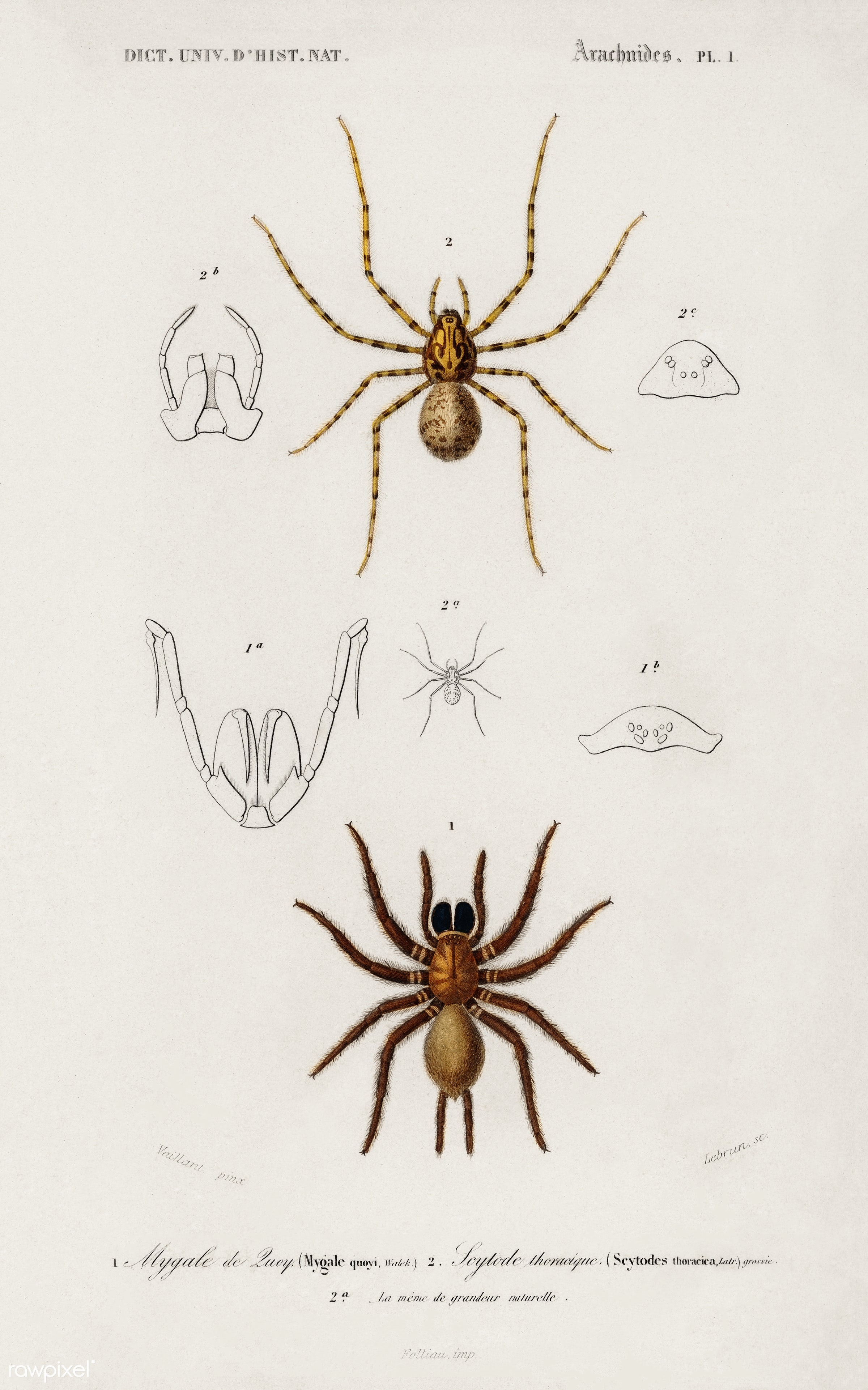 Different types of spiders illustrated by Charles Dessalines D' Orbigny (1806-1876). Digitally enhanced from our own...