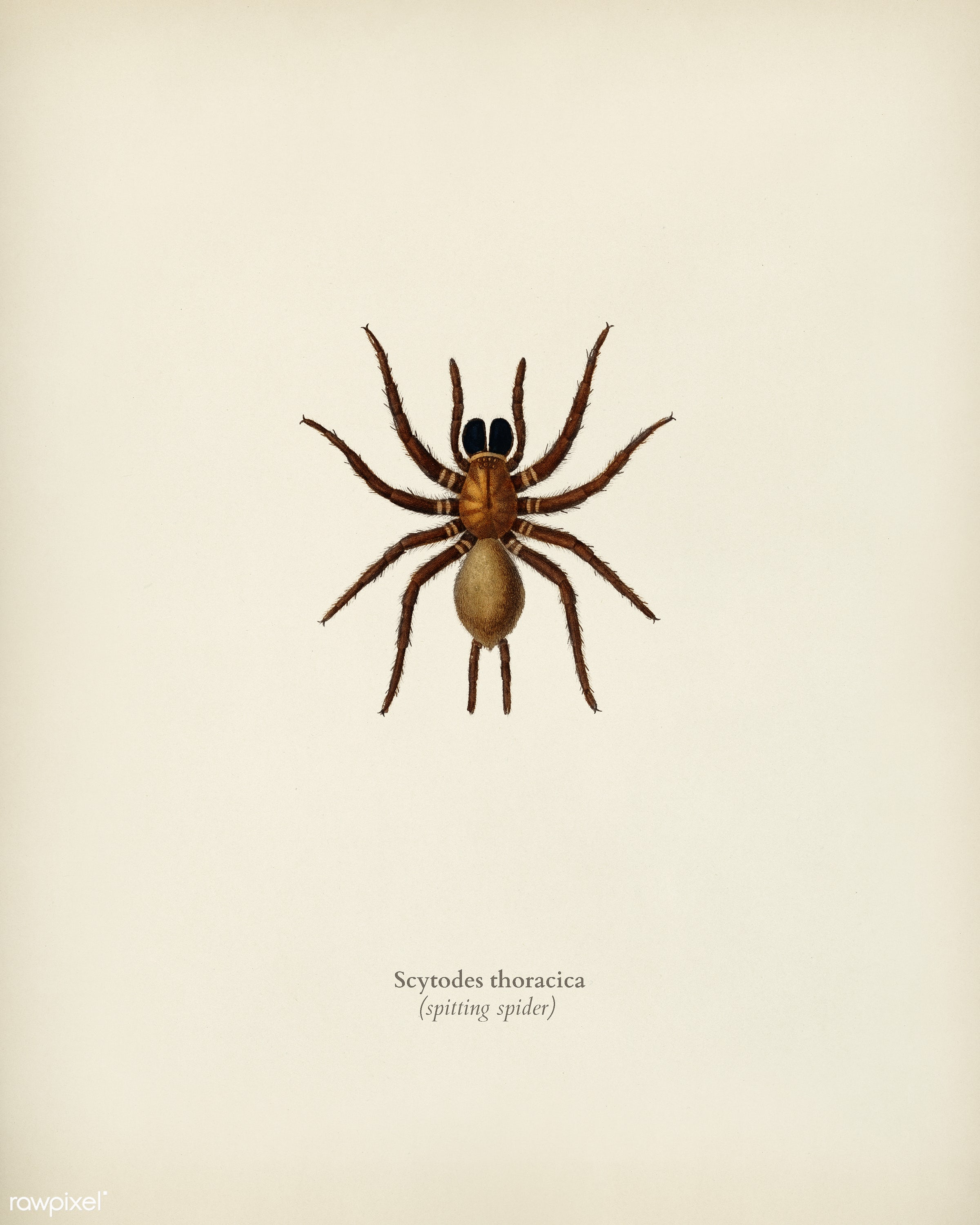 Black tunnelweb spider (Mygale quoyi) illustrated by Charles Dessalines D' Orbigny (1806-1876). Digitally enhanced from...