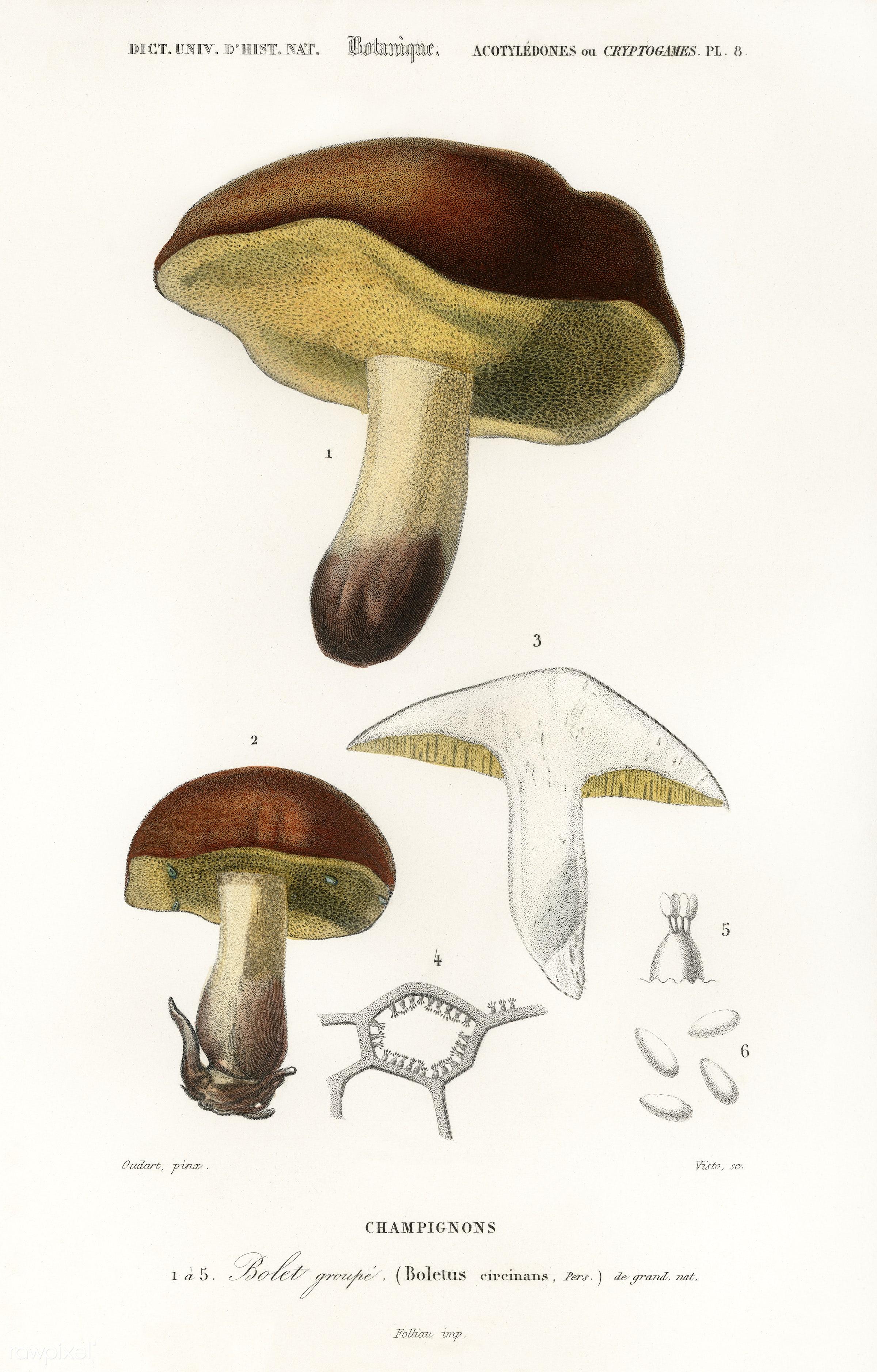 Mushroom (Boletus circinans) illustrated by Charles Dessalines D' Orbigny (1806-1876). Digitally enhanced from our own...