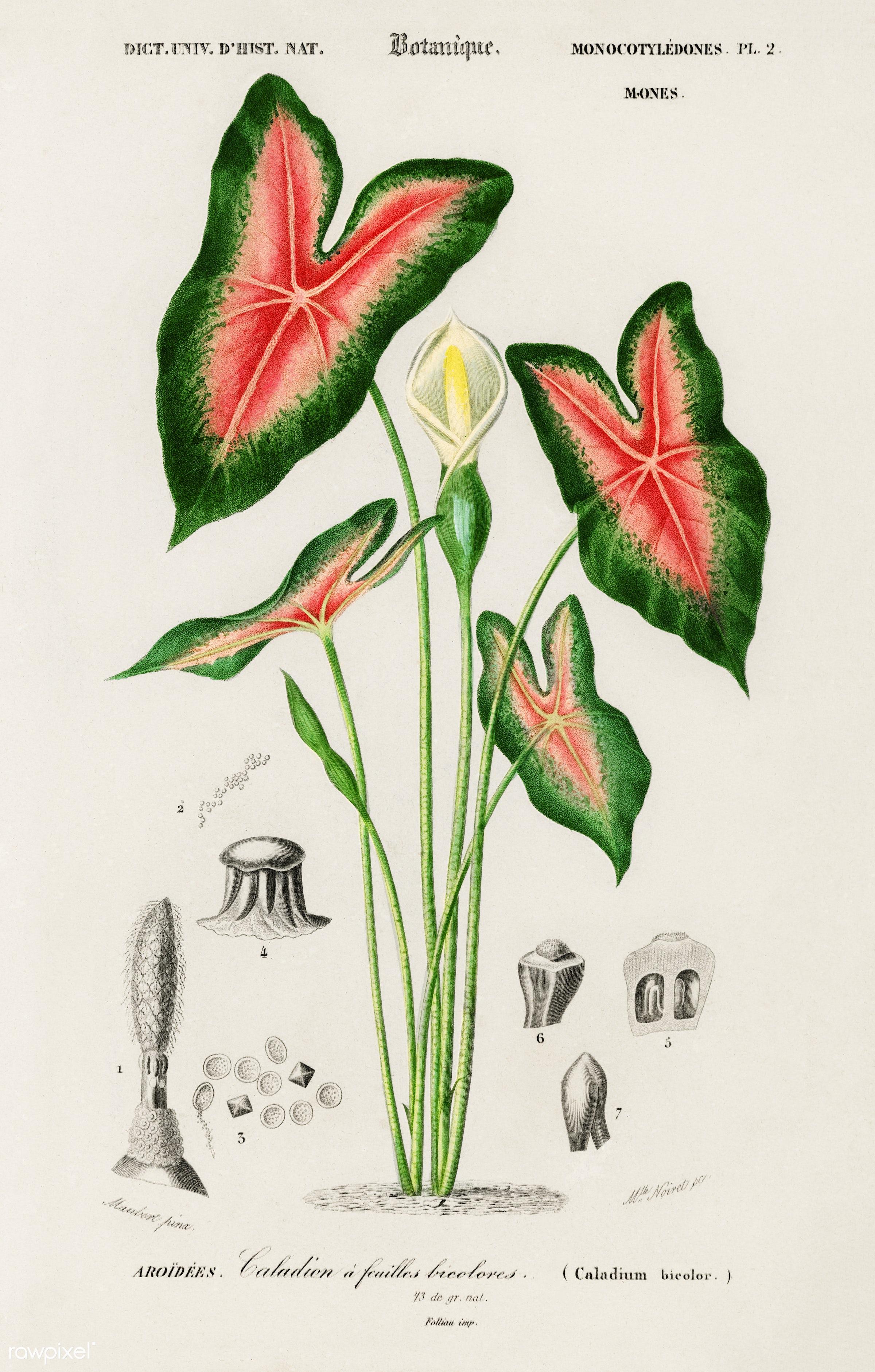 Elephant ear (Caladium bicolor) illustrated by Charles Dessalines D' Orbigny (1806-1876). Digitally enhanced from our...