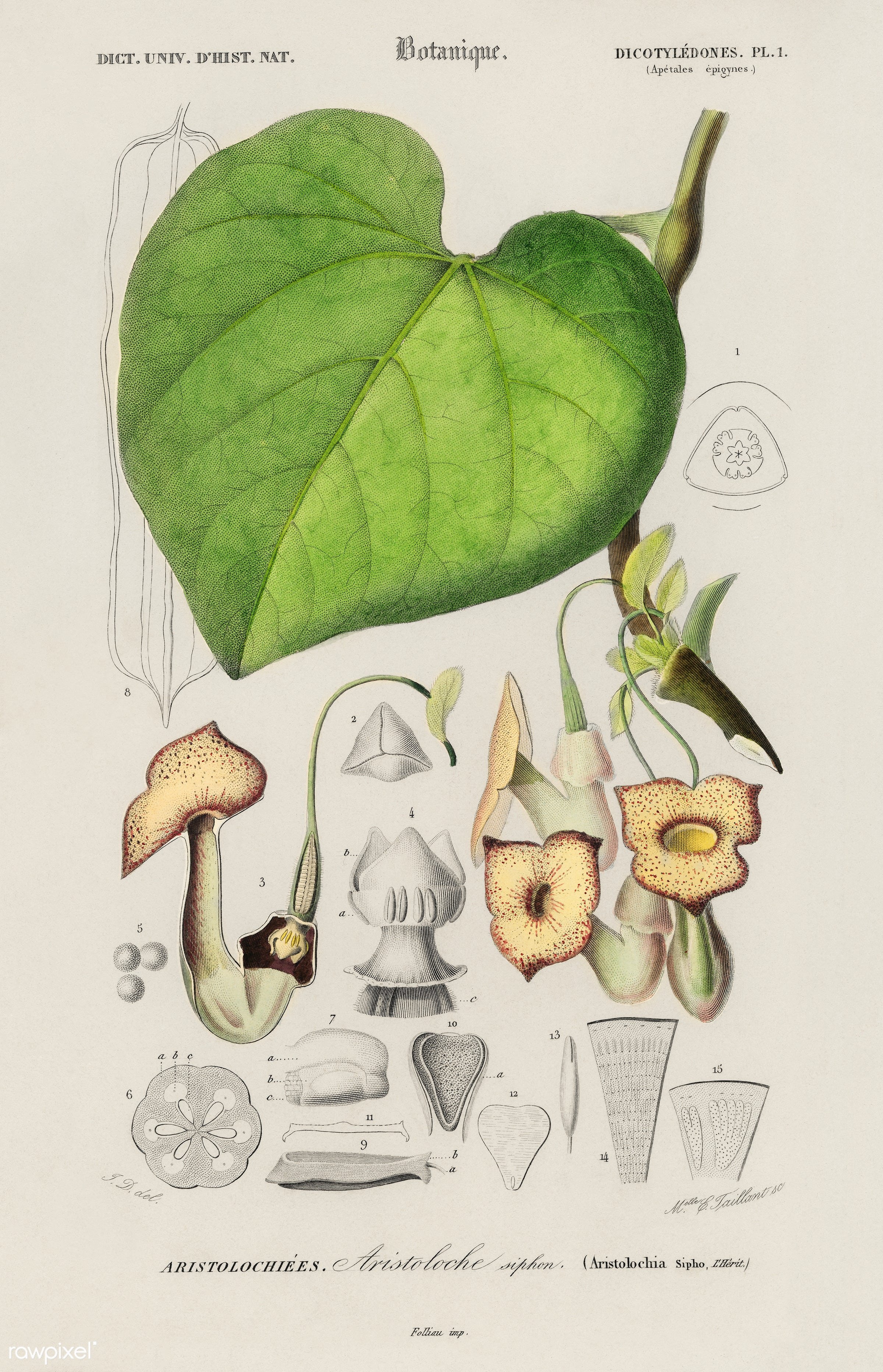 Pipevine (Dutchman's pipe) illustrated by Charles Dessalines D' Orbigny (1806-1876). Digitally enhanced from our own...