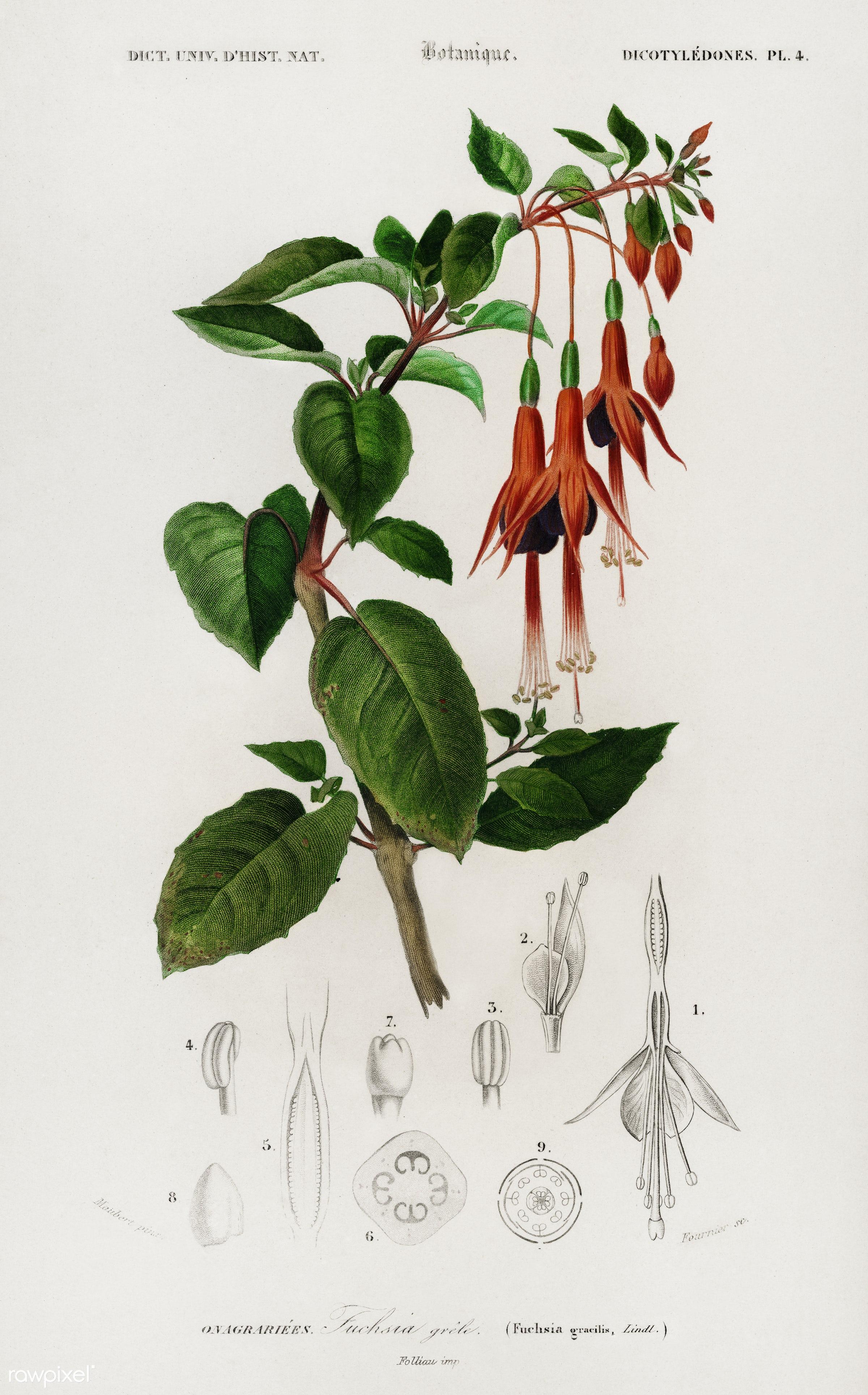 Hummingbird fuchsia (Fuchsia gracilis) illustrated by Charles Dessalines D' Orbigny (1806-1876). Digitally enhanced from...