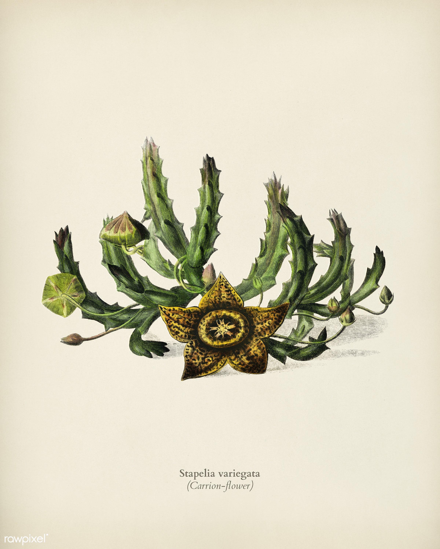 Carrion-flower (Stapelia variegata) illustrated by Charles Dessalines D' Orbigny (1806-1876). Digitally enhanced from...