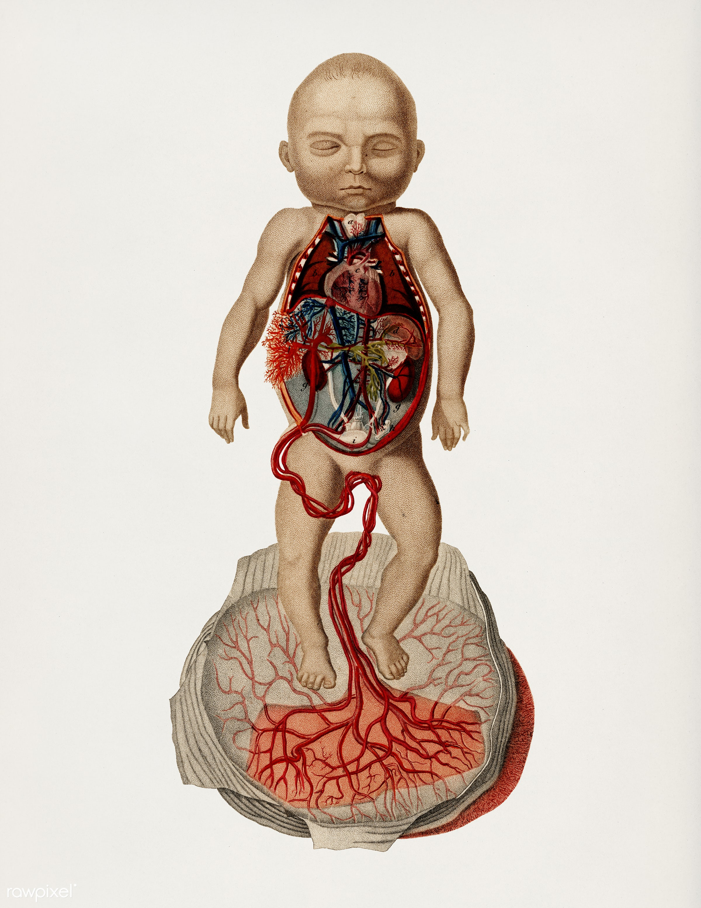 Circulation of the blood In a fetus illustrated by Charles Dessalines D' Orbigny (1806-1876). Digitally enhanced from...