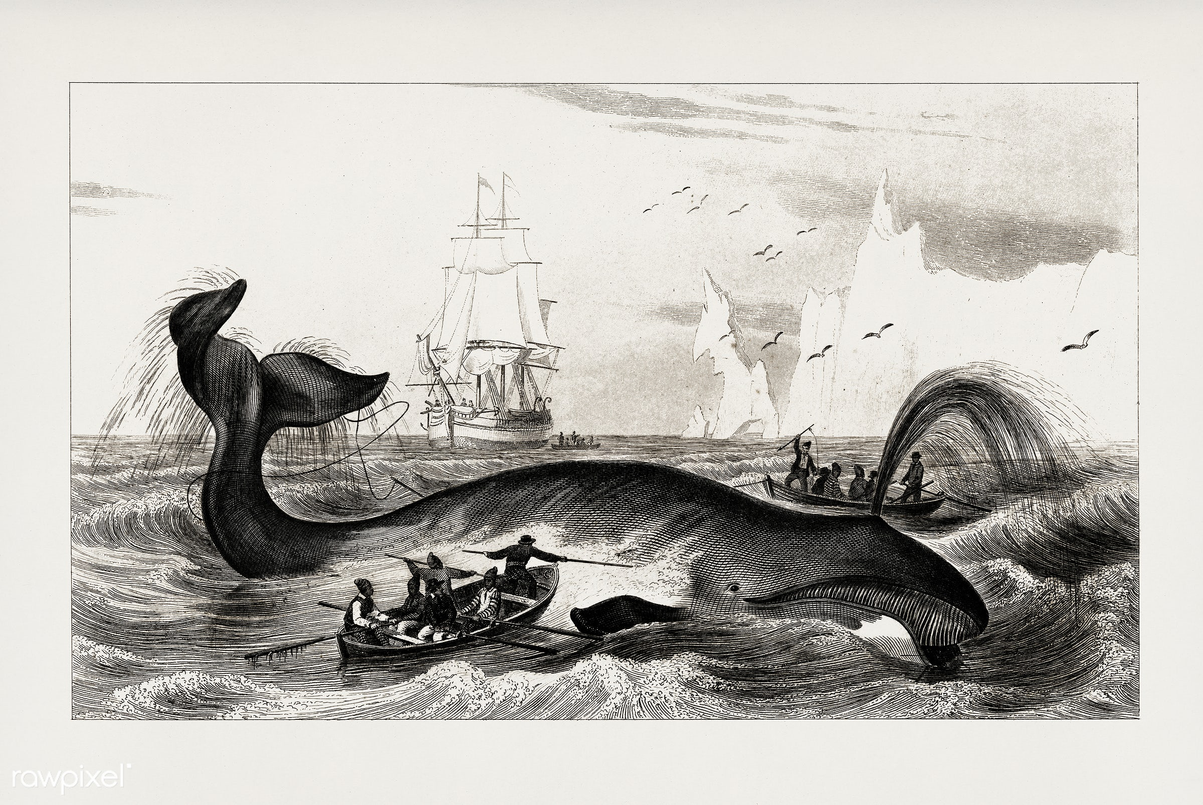 Bowhead whale (Balaena mysticetus) by Charles Dessalines D' Orbigny (1806-1876). Digitally enhanced from our own 1892...