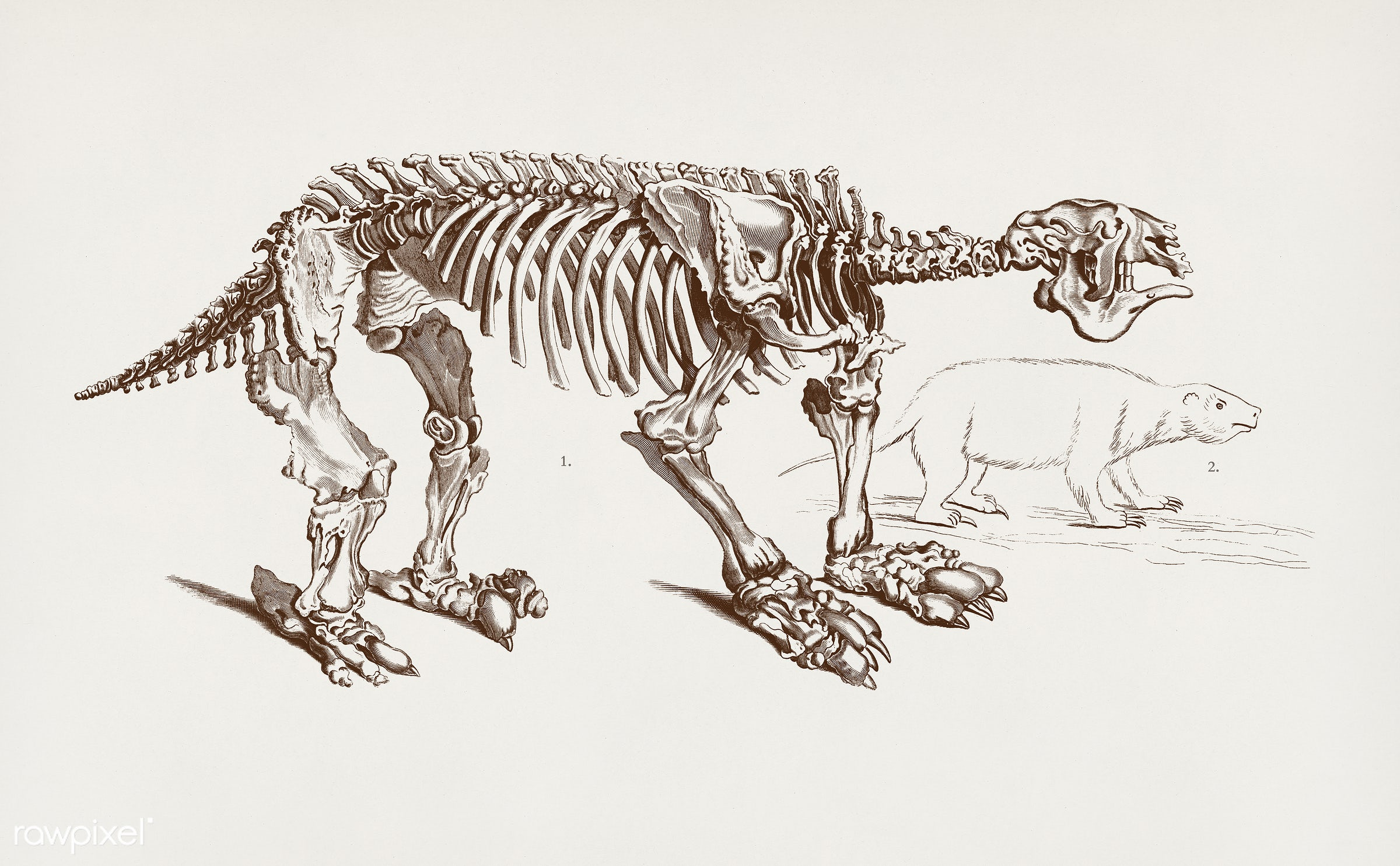 Megatherium illustrated by Charles Dessalines D' Orbigny (1806-1876). Digitally enhanced from our own 1892 edition of...
