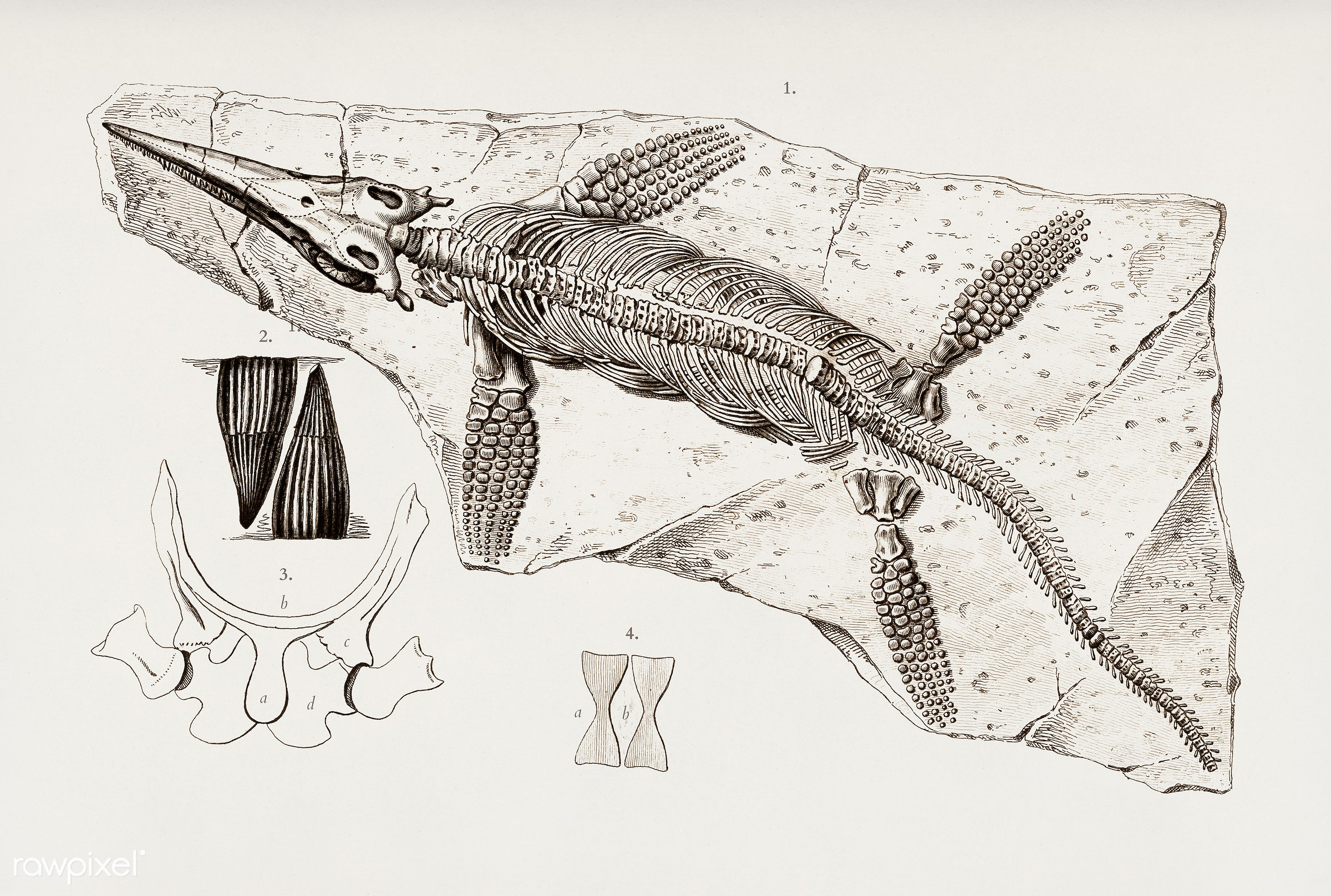 Chthyosaurus illustrated by Charles Dessalines D' Orbigny (1806-1876). Digitally enhanced from our own 1892 edition of...