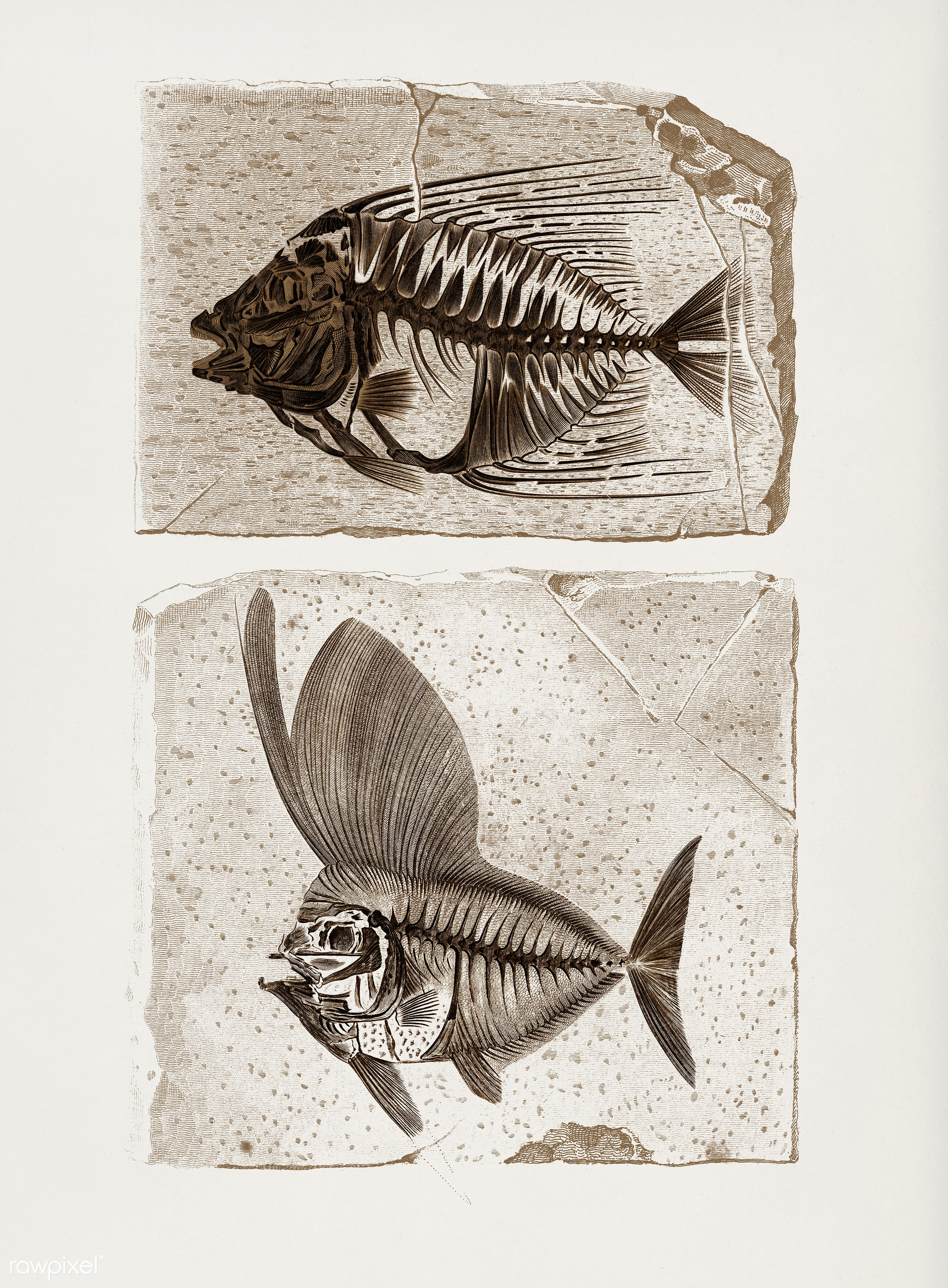 Ray-finned fish (Acanthonemus) and Semiophorus illustrated by Charles Dessalines D' Orbigny (1806-1876). Digitally...