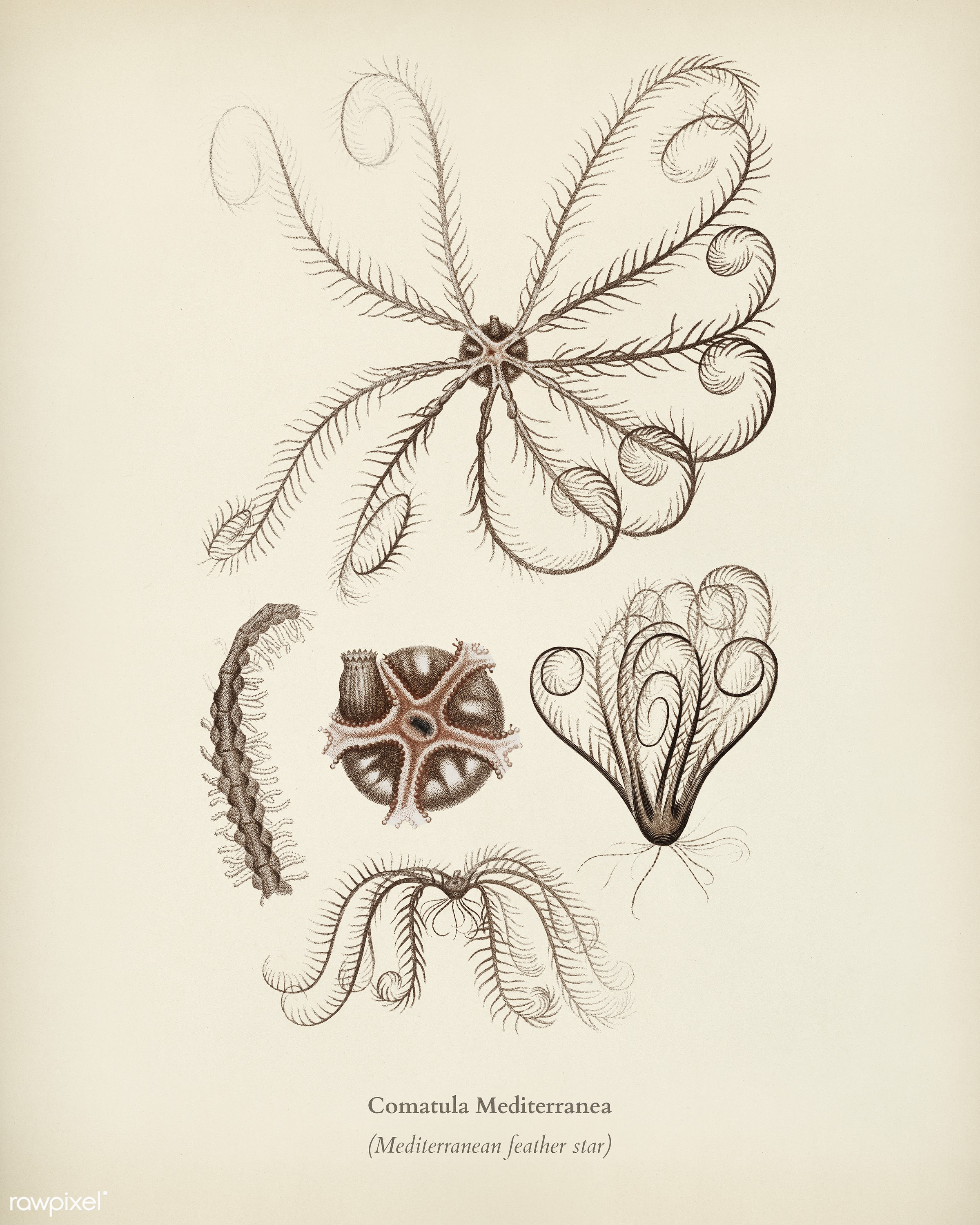 Comatula Mediterranea illustrated by Charles Dessalines D' Orbigny (1806-1876). Digitally enhanced from our own 1892...