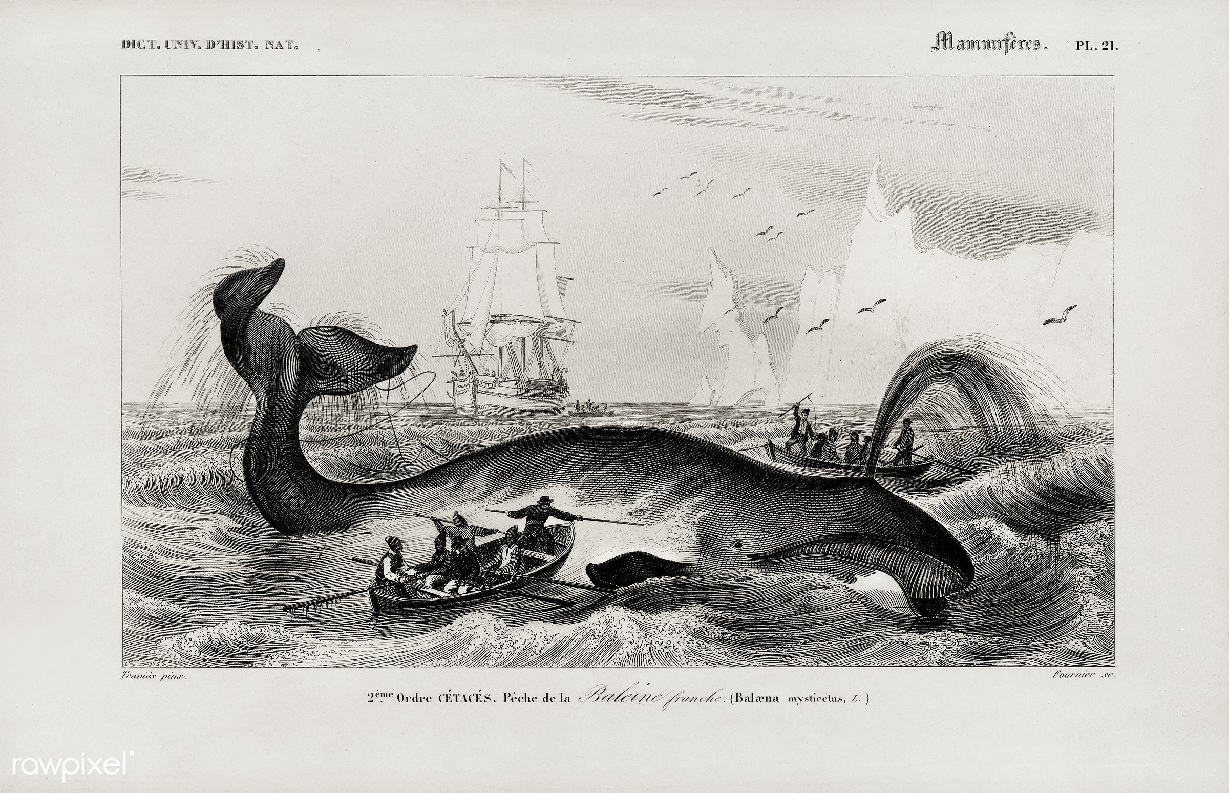 Balaena mysticetus, Bowhead whale, by Charles Dessalines D' Orbigny (1806-1876). Digitally enhanced from our own 1892...