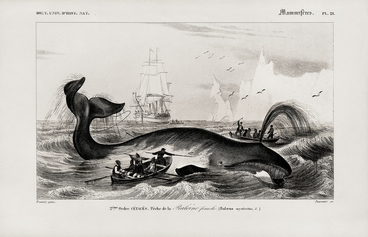 Balaena mysticetus, Bowhead whale, by Charles Dessalines D' Orbigny (1806-1876). Digitally enhanced from our own 1892 edition…