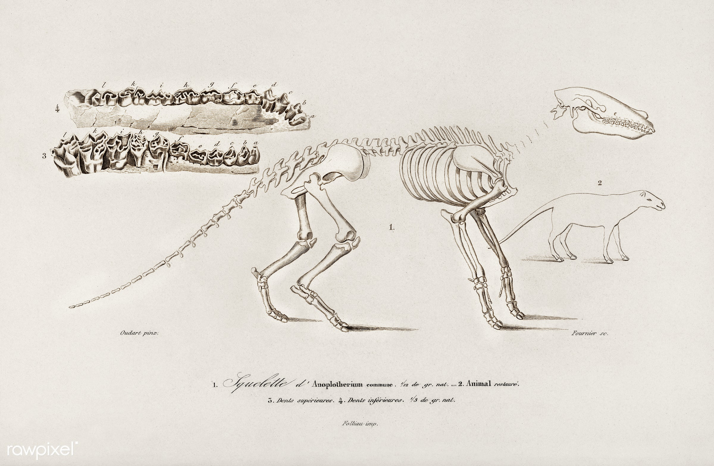 Ungulate (Anoplotherium) illustrated by Charles Dessalines D' Orbigny (1806-1876). Digitally enhanced from our own 1892...
