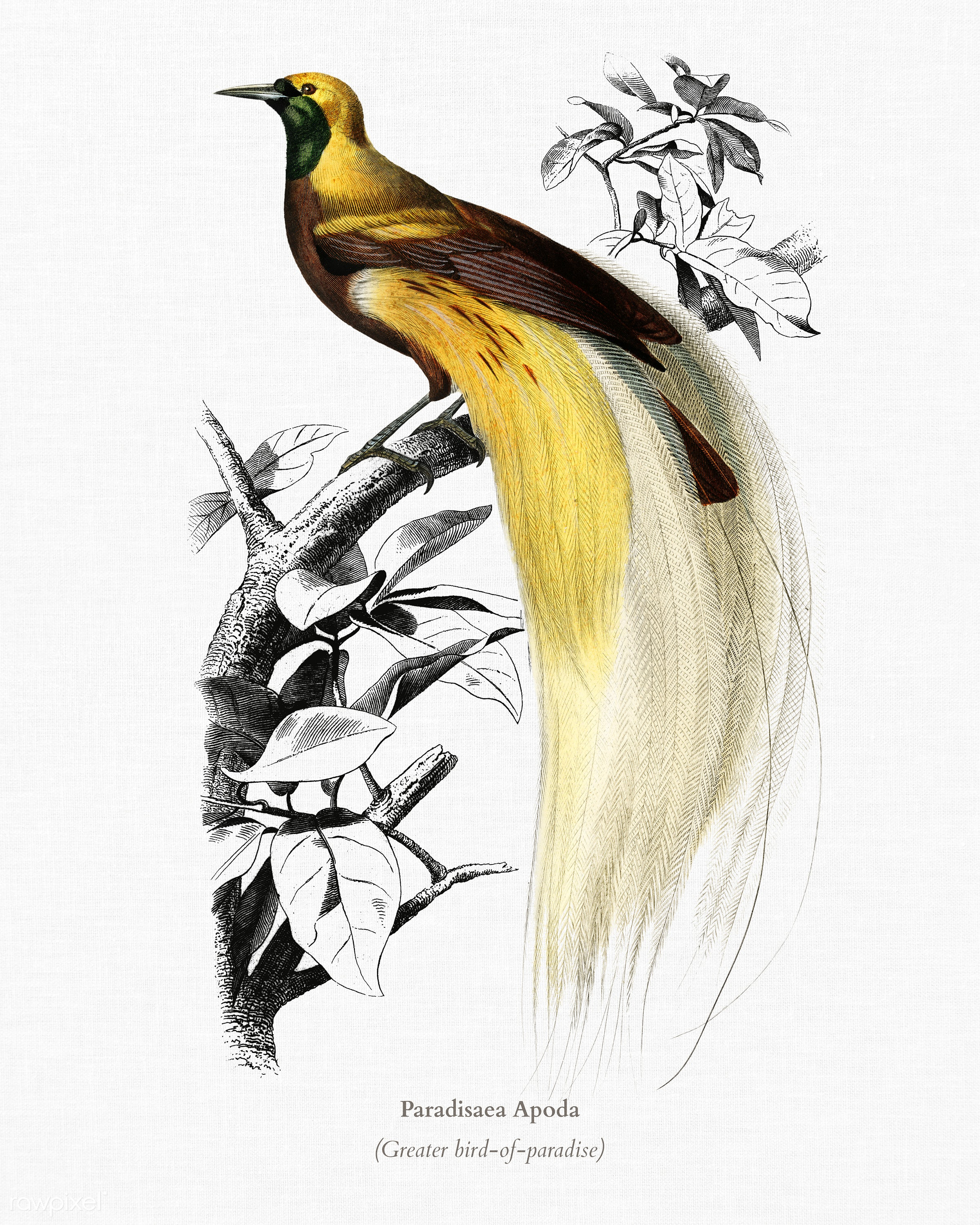 Paradisaea Apoda illustrated by Charles Dessalines D' Orbigny (1806-1876). Digitally enhanced from our own 1892 edition...