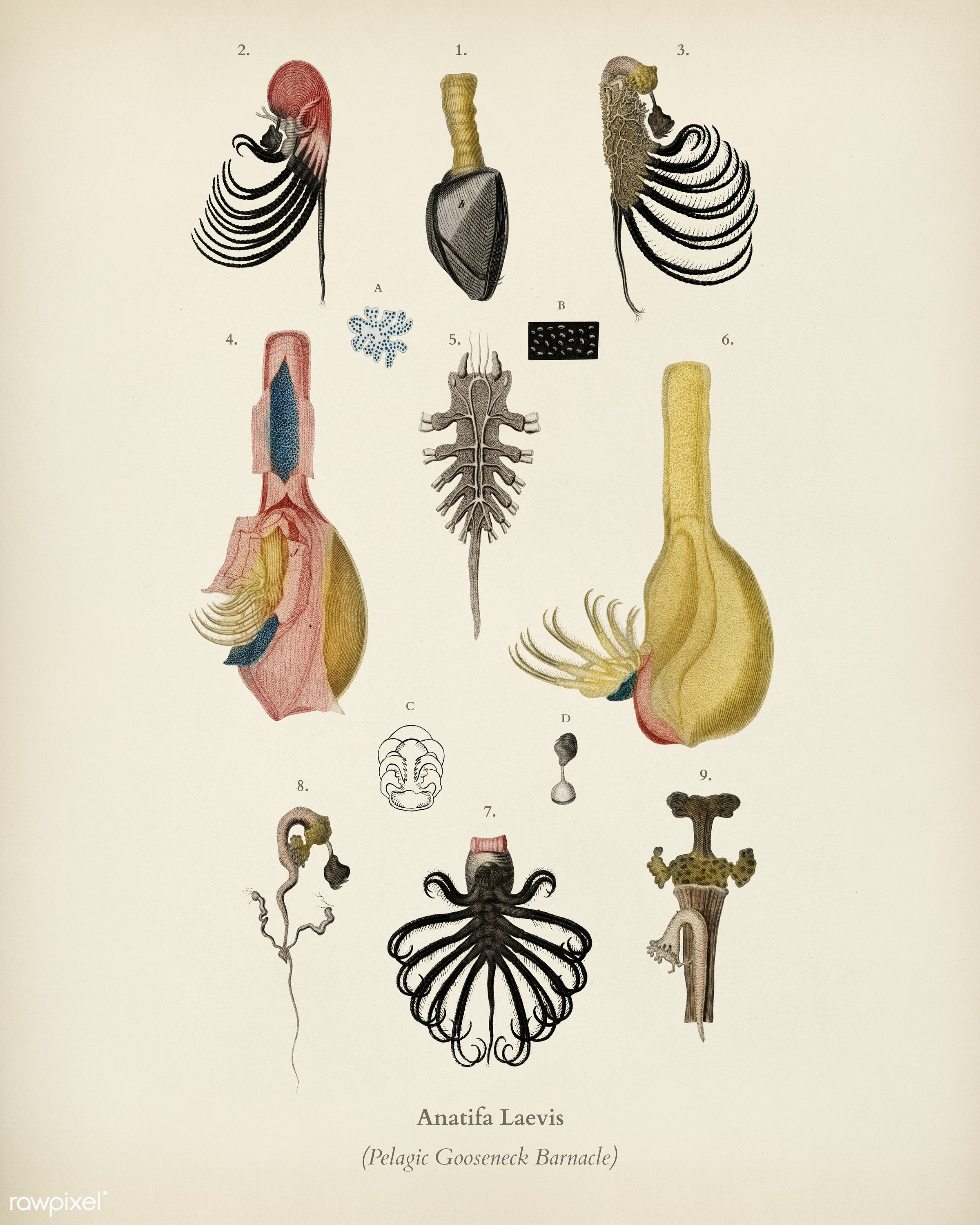 Anatifa Laevis illustrated by Charles Dessalines D' Orbigny (1806-1876). Digitally enhanced from our own 1892 edition of...
