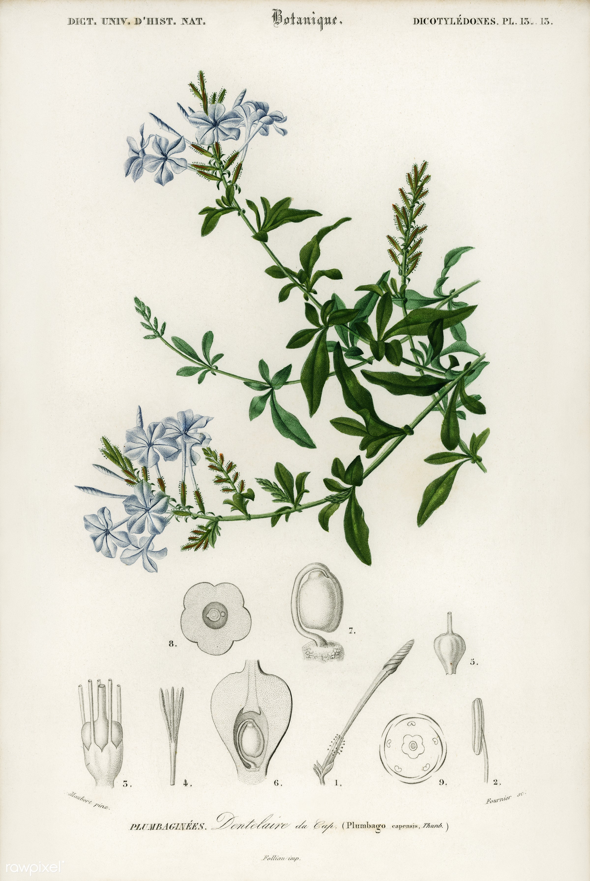 Plumbago Capensis illustrated by Charles Dessalines D' Orbigny (1806-1876). Digitally enhanced from our own 1892 edition...