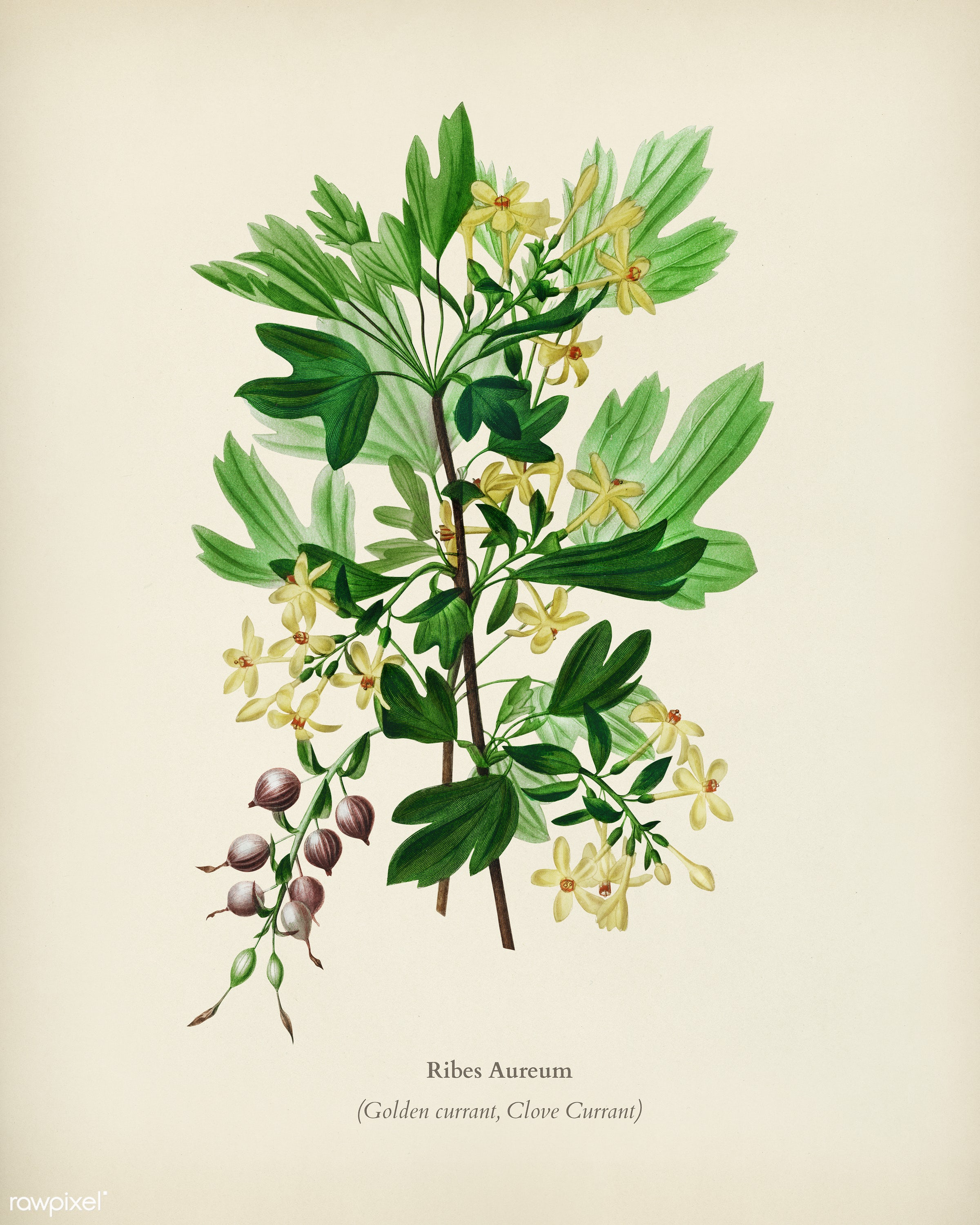 Ribes Aureum illustrated by Charles Dessalines D' Orbigny (1806-1876). Digitally enhanced from our own 1892 edition of...