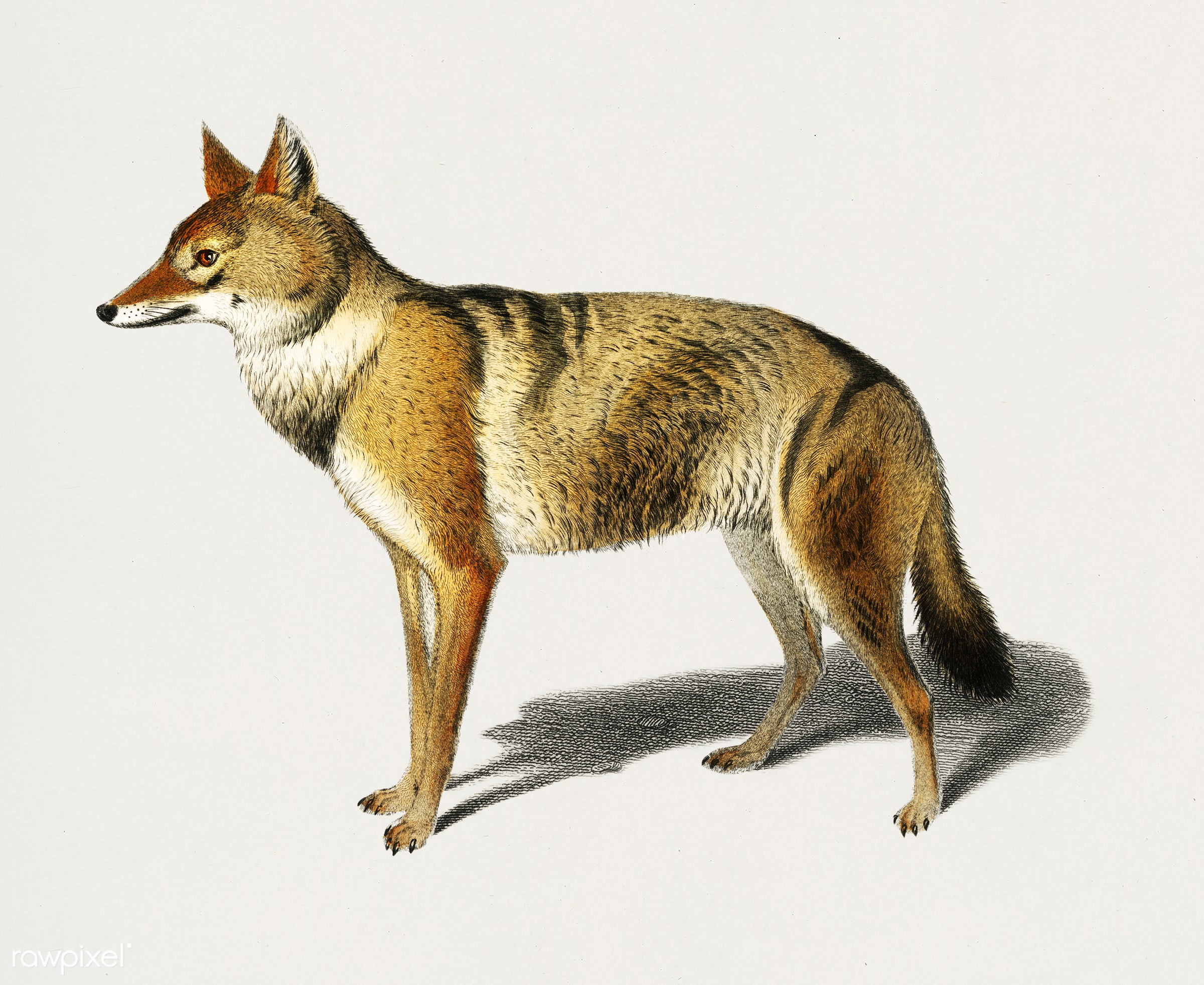 Golden Jackal (Canis Aureus) illustrated by Charles Dessalines D' Orbigny (1806-1876). Digitally enhanced from our own...