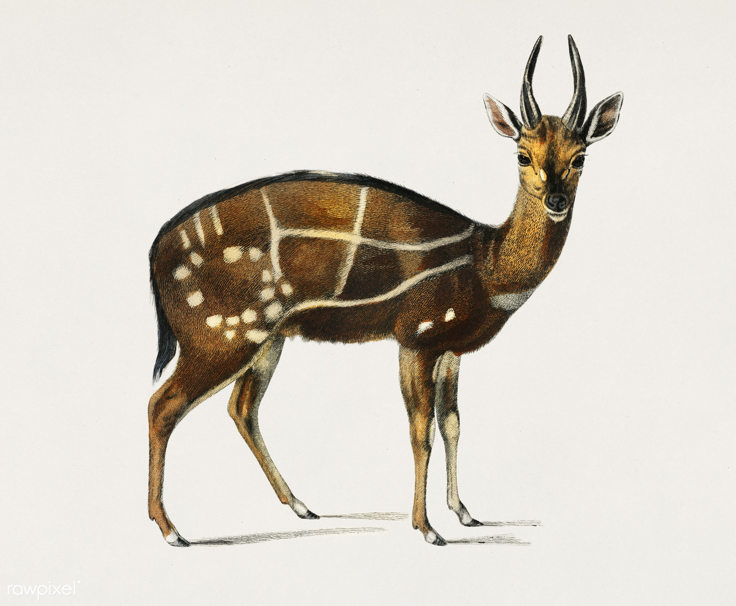 Antilope guib illustrated by Charles Dessalines D' Orbigny (1806-1876). Digitally enhanced from our own 1892 edition of...