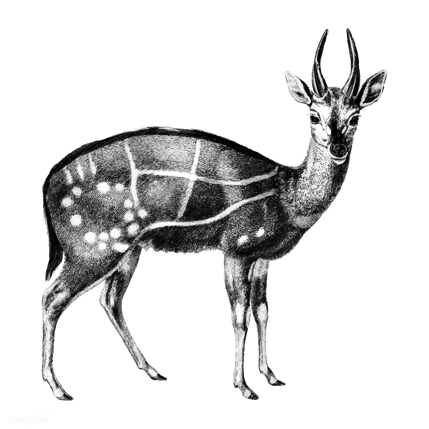 Free and premium cape bushbuck images vectors and psd mockups