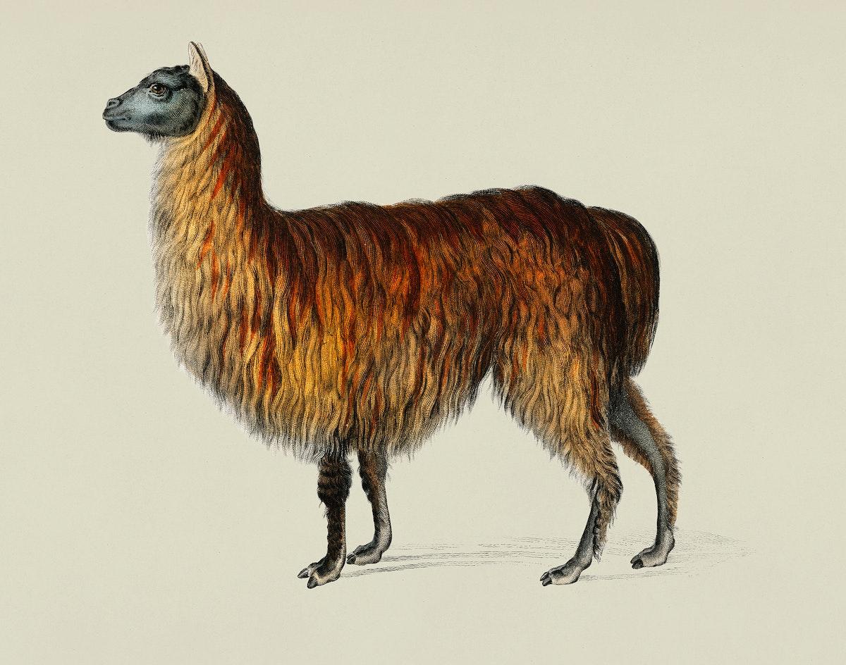 Vintage Illustration of Alpaca.