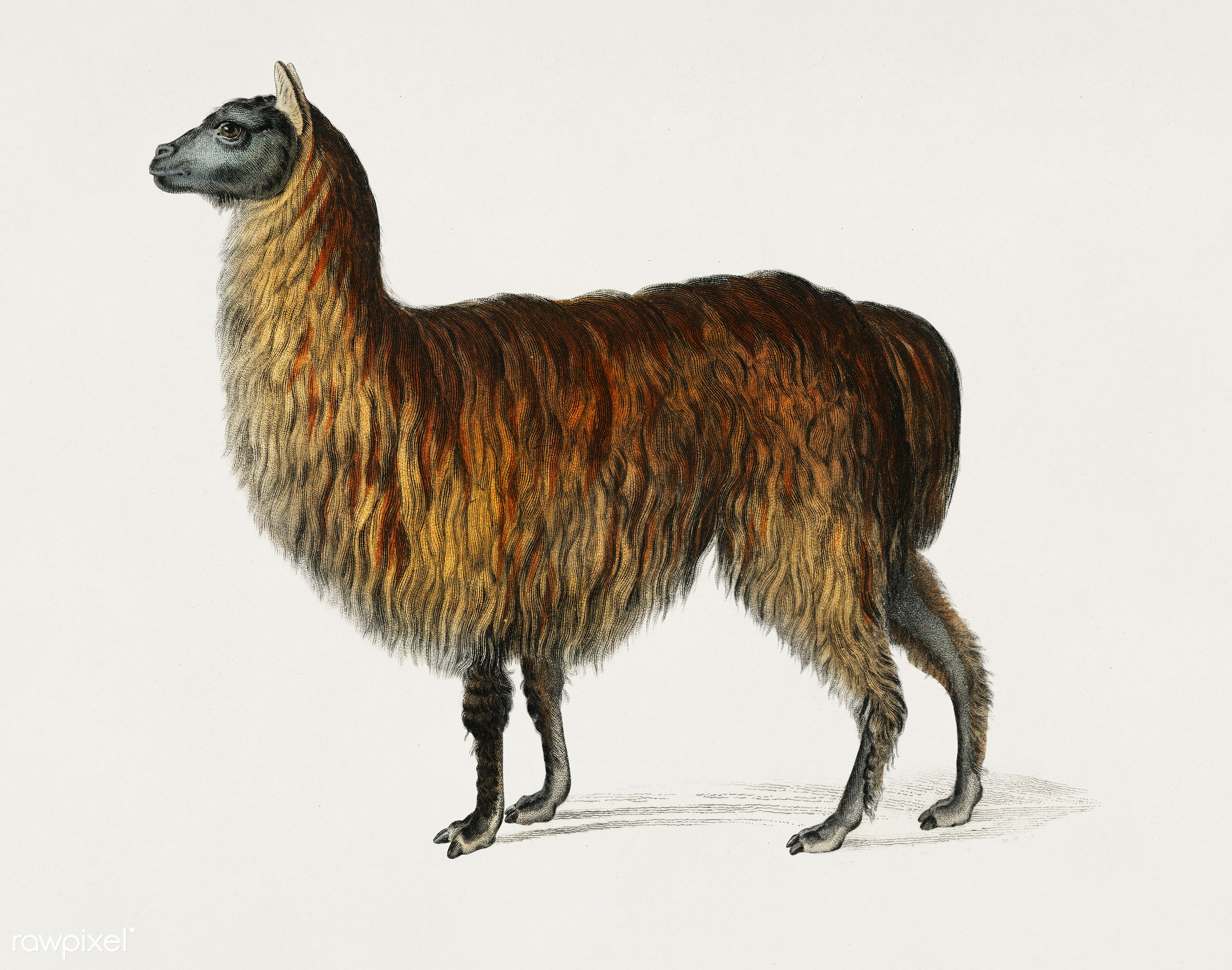 Alpaca (Vicugna Pacos) illustrated by Charles Dessalines D' Orbigny (1806-1876). Digitally enhanced from our own 1892...