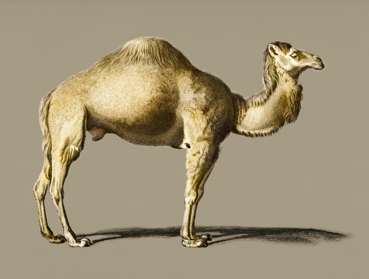 Vintage Illustration of Camel.