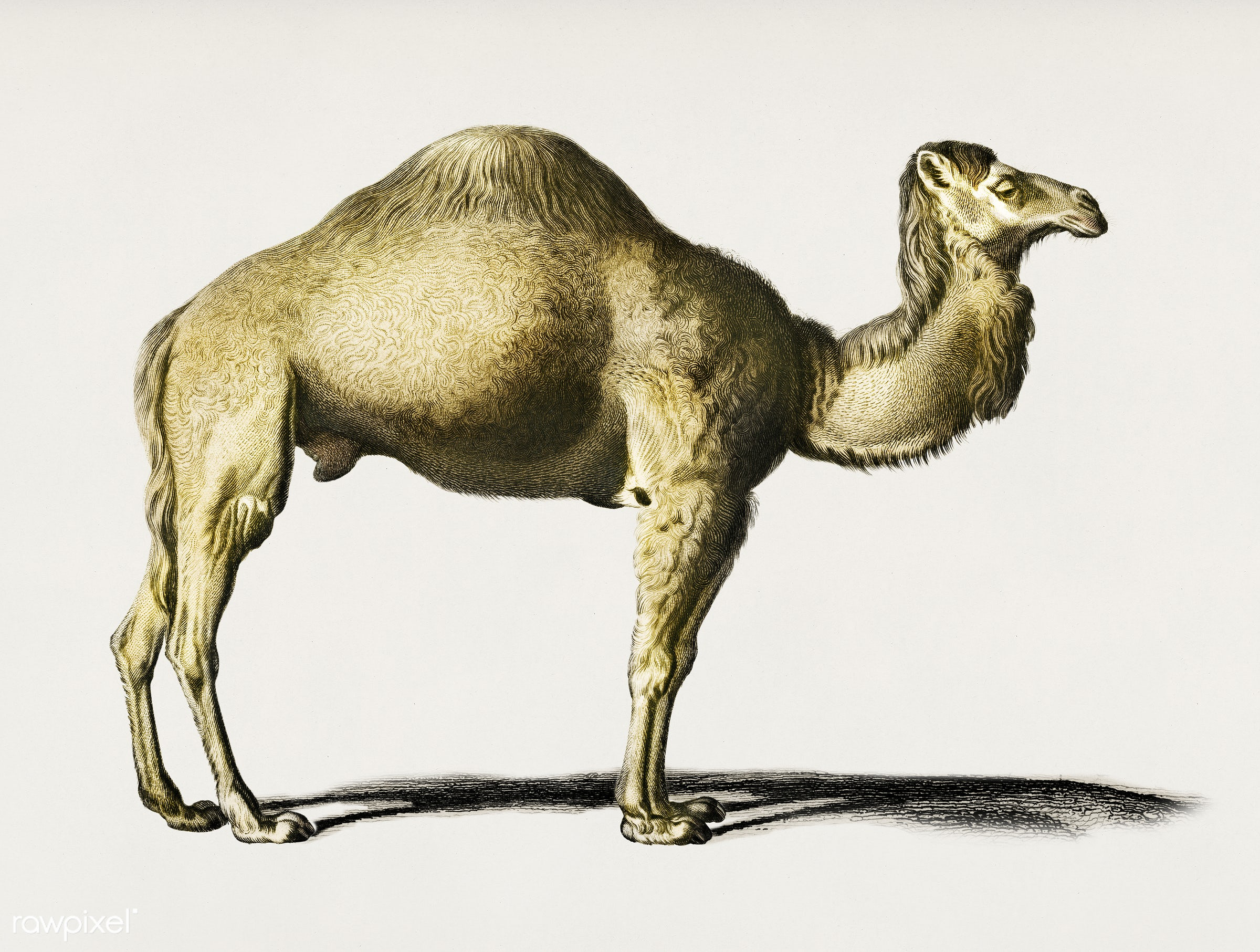 Camel (Camelus) illustrated by Charles Dessalines D' Orbigny (1806-1876). Digitally enhanced from our own 1892 edition...