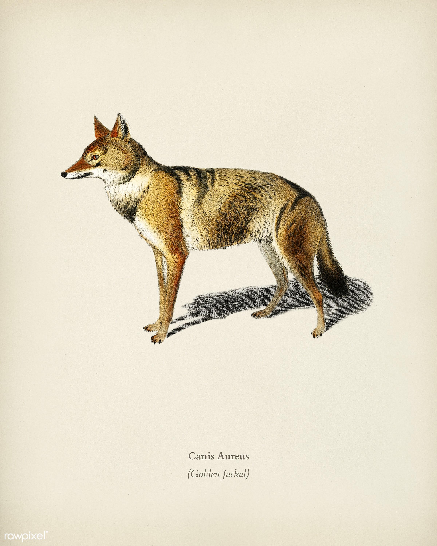 Golden Jackal (Canis Aureus) illustrated by Charles Dessalines D' Orbigny (1806-1876). Digitally enhanced from our own...