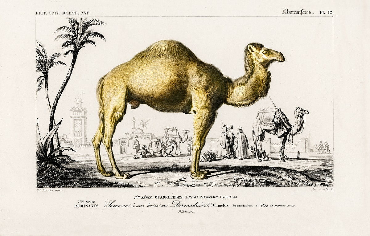 Camel (Camelus) illustrated by Charles Dessalines D' Orbigny (1806-1876). Digitally enhanced from our own 1892 edition of…