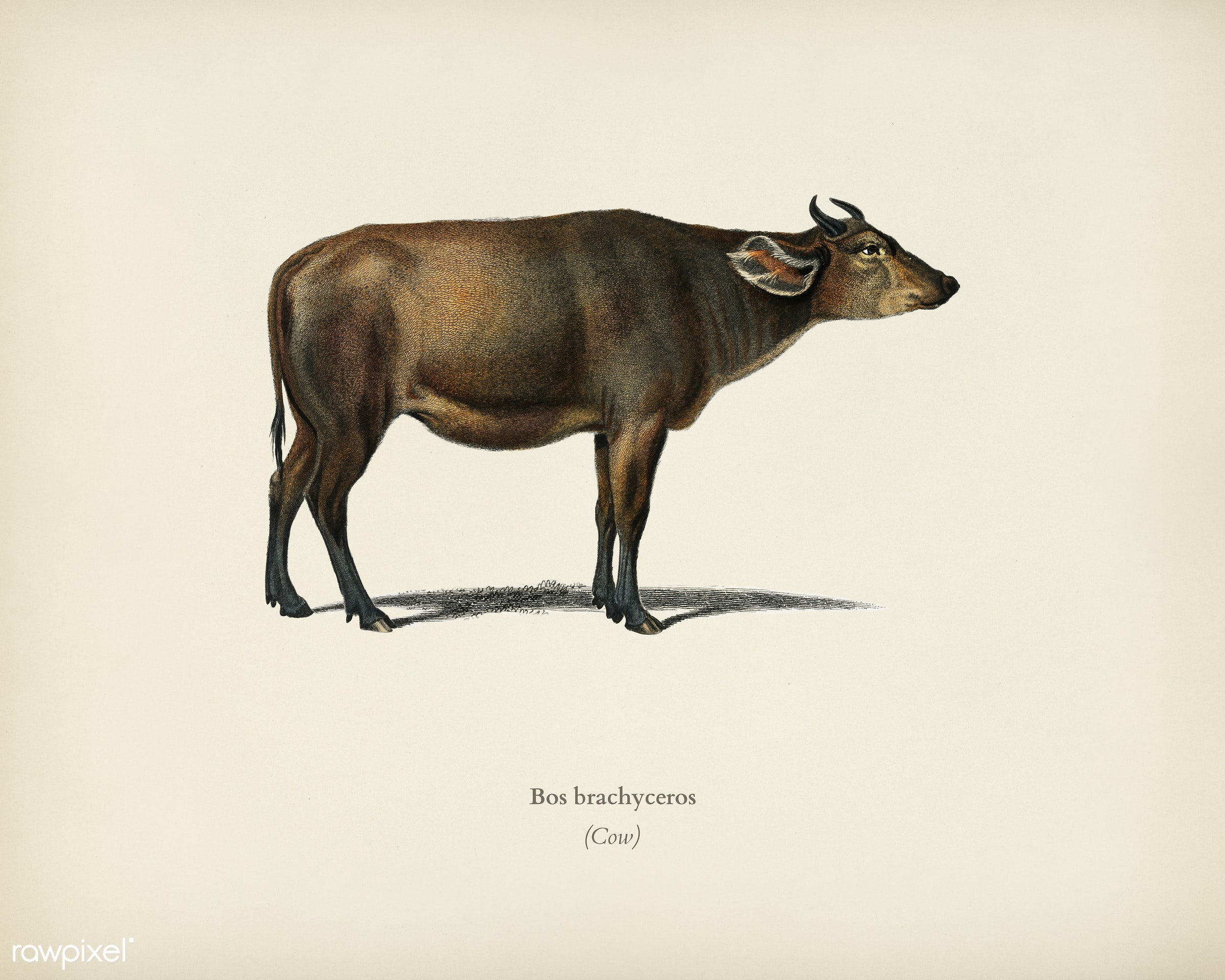 Cow (Bos brachyceros) illustrated by Charles Dessalines D' Orbigny (1806-1876). Digitally enhanced from our own 1892...